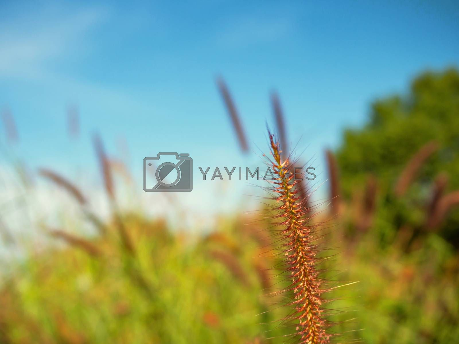 Close up of grass flowers On a sky background.soft focus images. selective focus