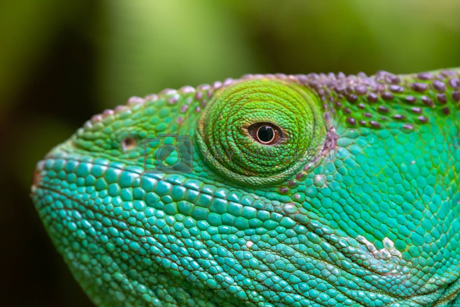 A Close-up, macro shot of a green chameleon