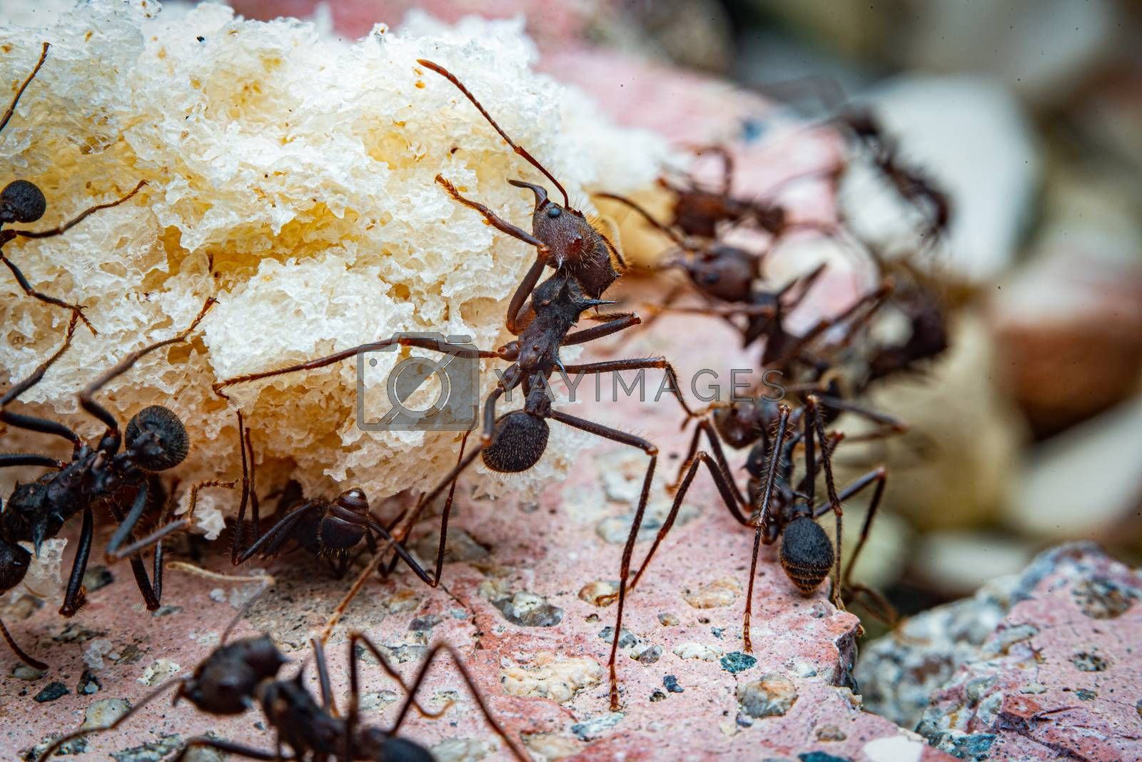 Macro photograph of leaf cutter ants on a piece of bread