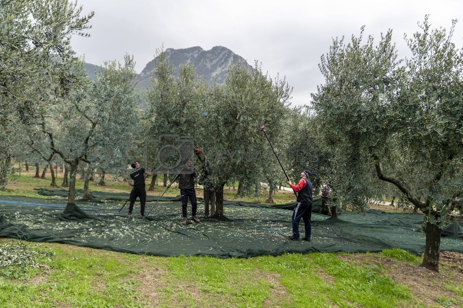 terni,italy november 12 2020:olive harvesting workers with towels and hydraulic hands