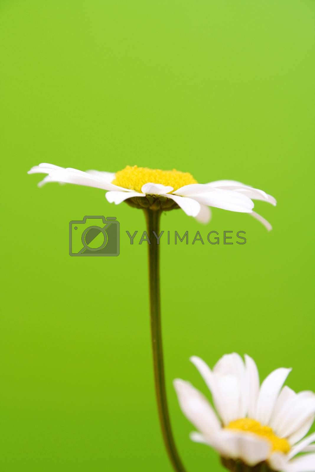 Camomile on green background