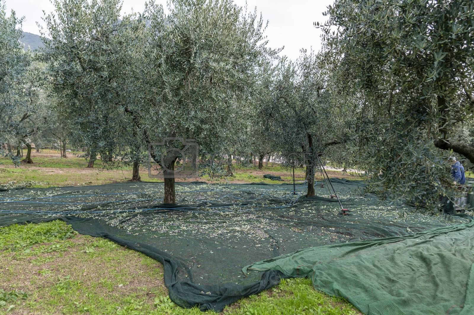 cloths positioned for olive harvesting under the trees
