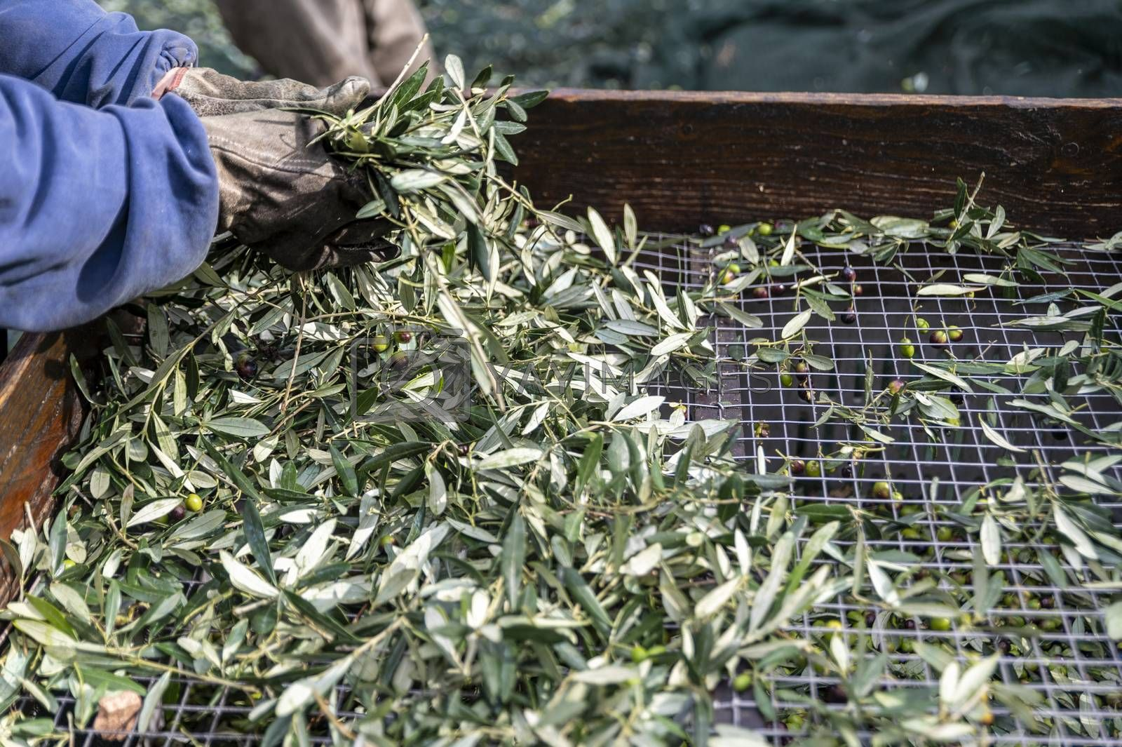 olive capatura from the leaves with passer during the harvest