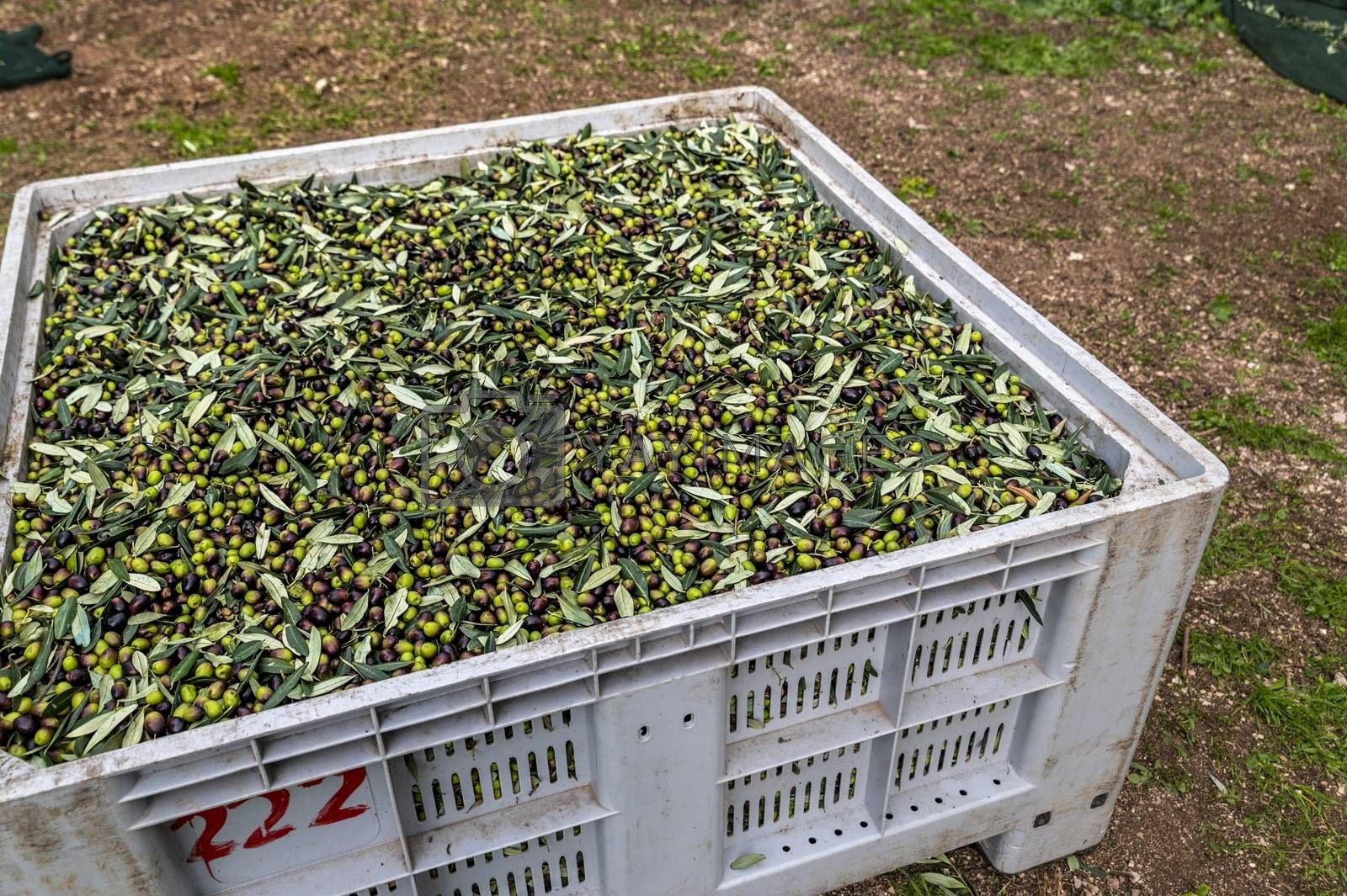 freshly picked olive deposited in the box with leaf residues