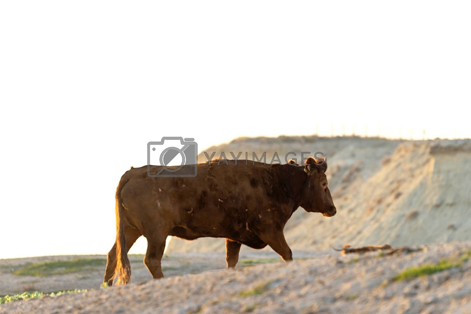 Lonely brown coat grazing on pasture