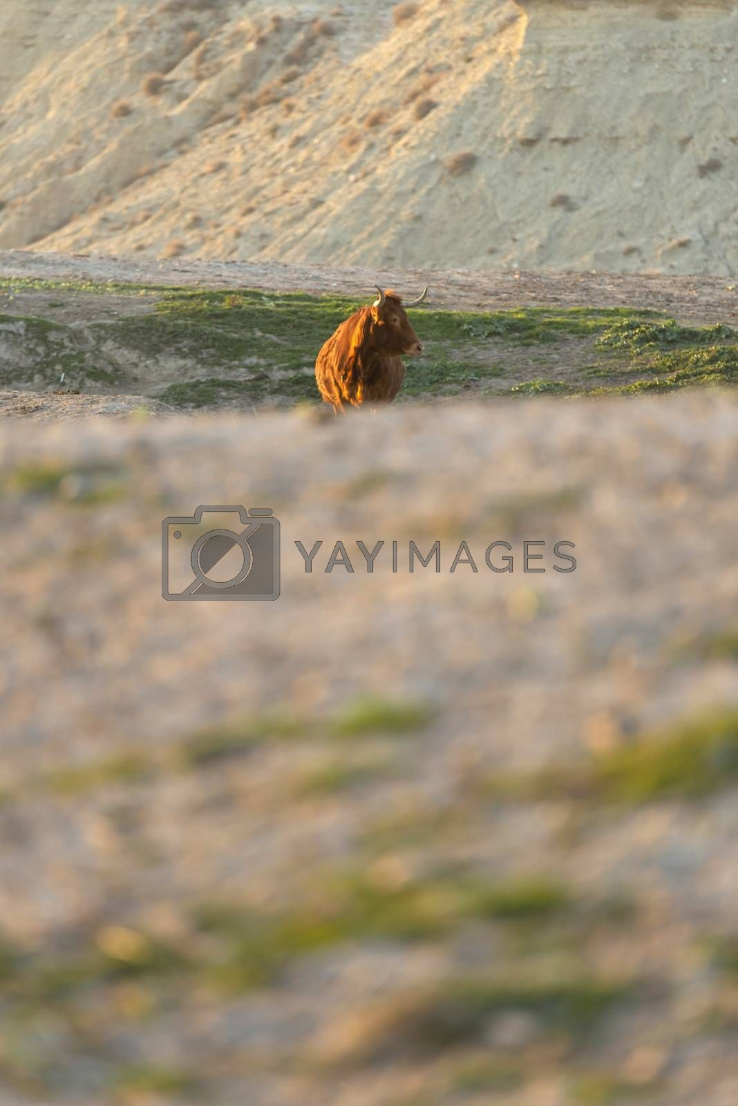 Lonely brown cow on pasture while looking at camera