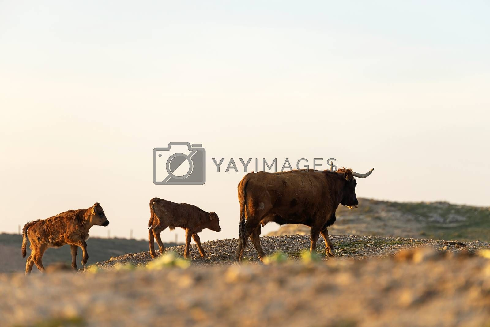 Coat and calf gazing on pasture at sunset