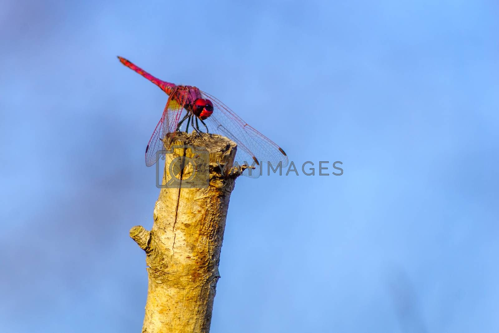View of a red dragonfly on a tree branch