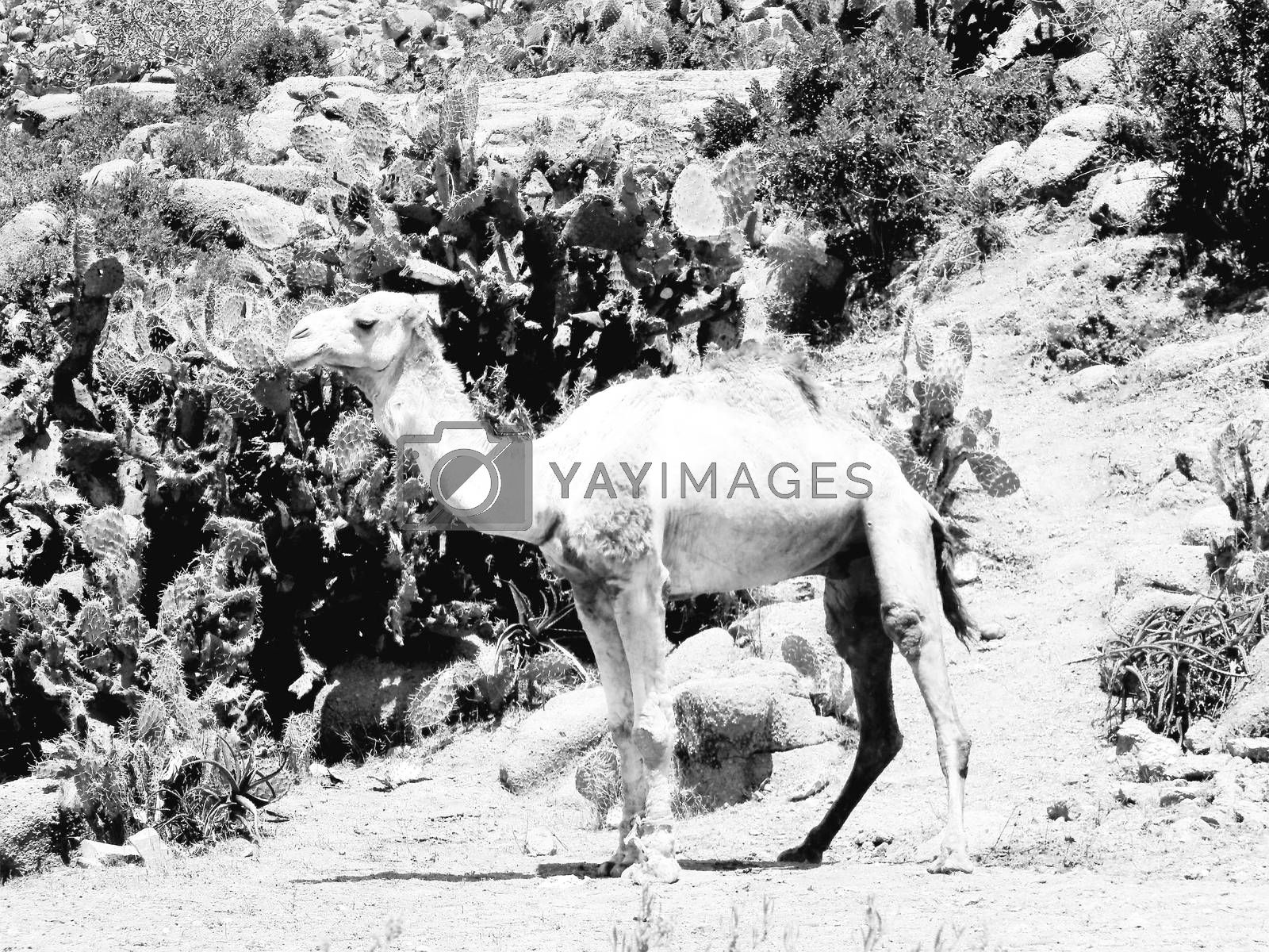 Tesseney, Eritrea - 10/11/2020: Beautiful photography of the landscape from the villages near the bord from Ethiopia. Old desert villages with some domestic animals.