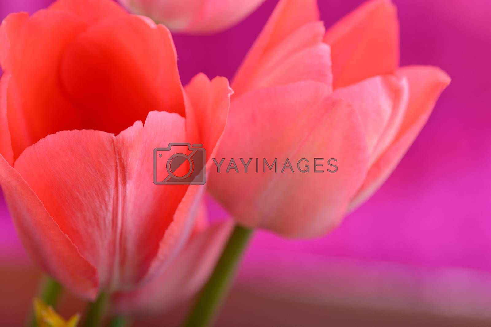 Red flower tulip. Group of colorful tulip. Bright colorful tulip close up for greetings card.