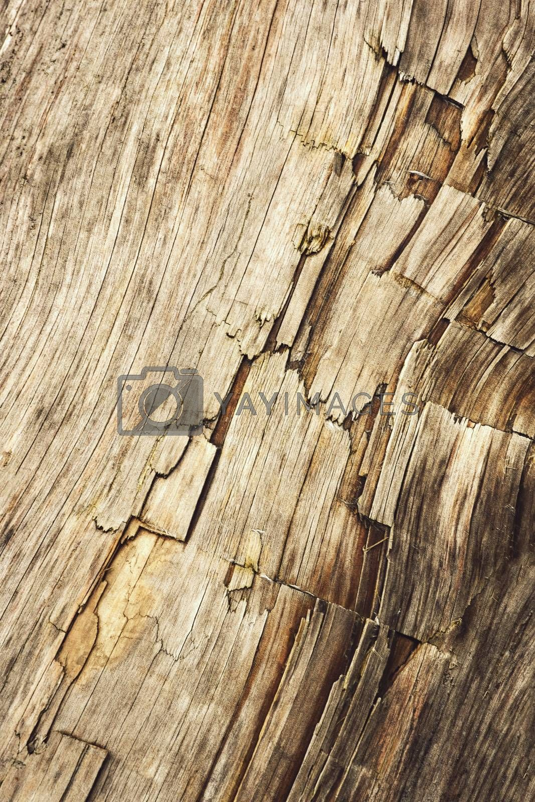 background or texture detail of an old wooden log trunk with cracks