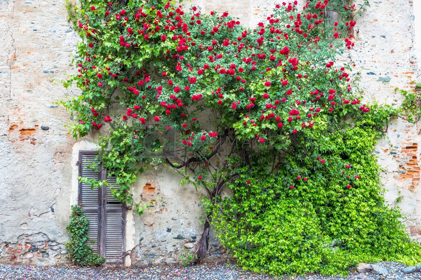 Romantic antique roses during summer season. The location is grungy and vintage in north Italy.