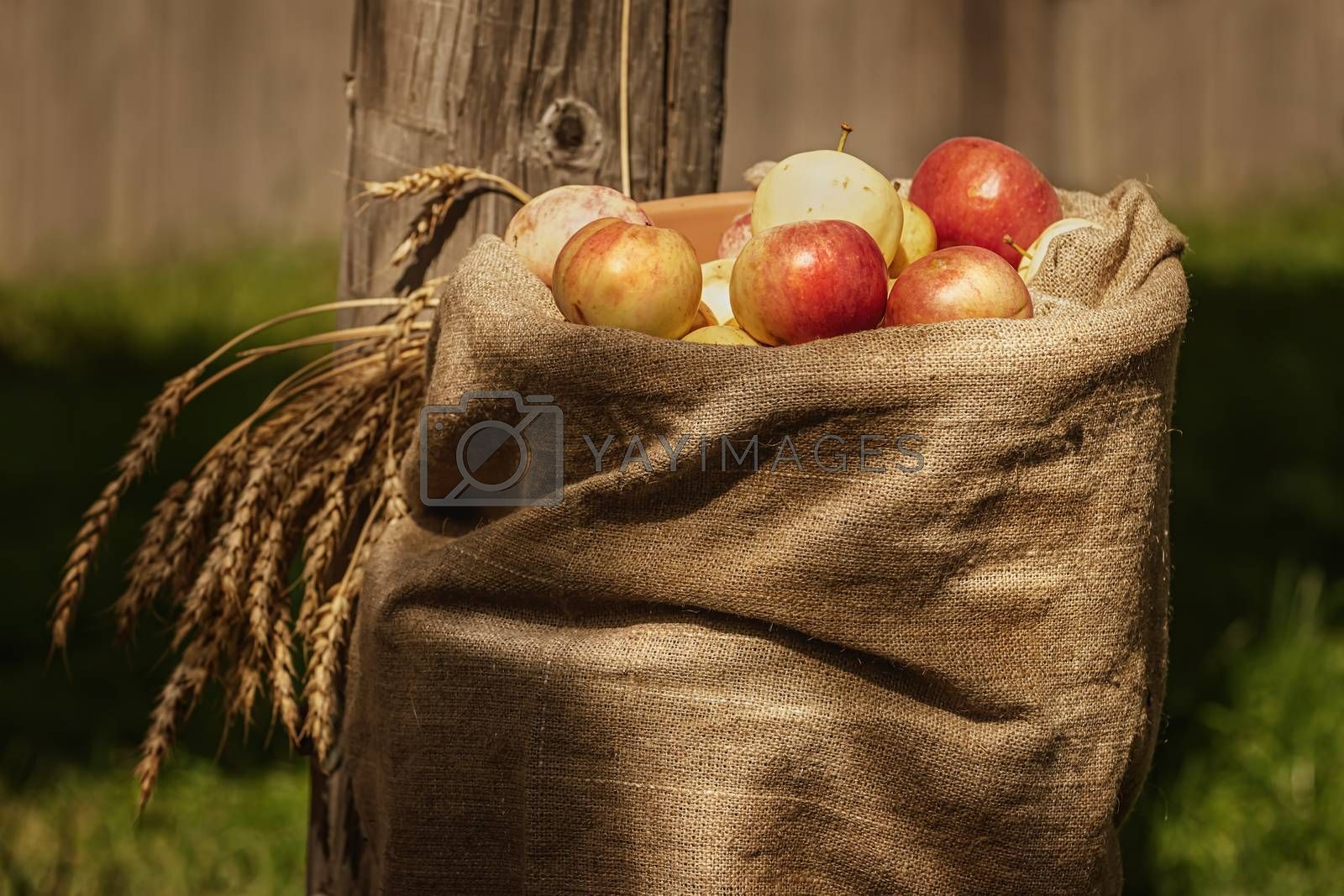 Burlap sackof ripe apples in the courtyard