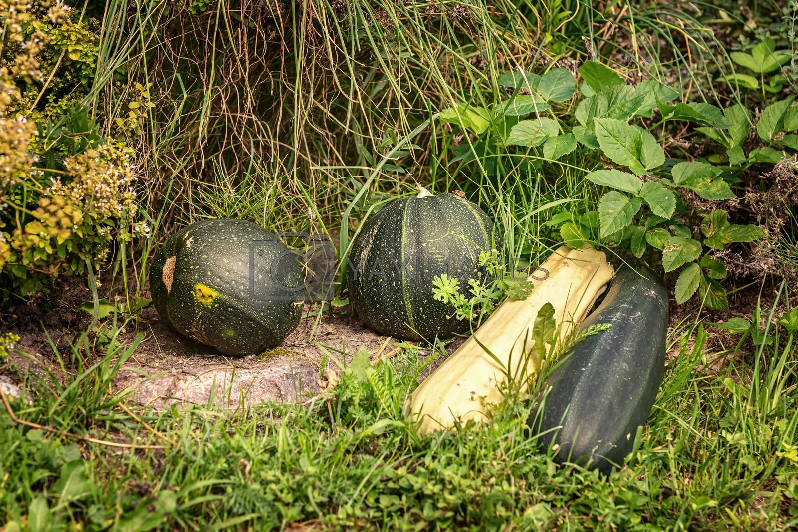 Pumpkins and squashes on the grass