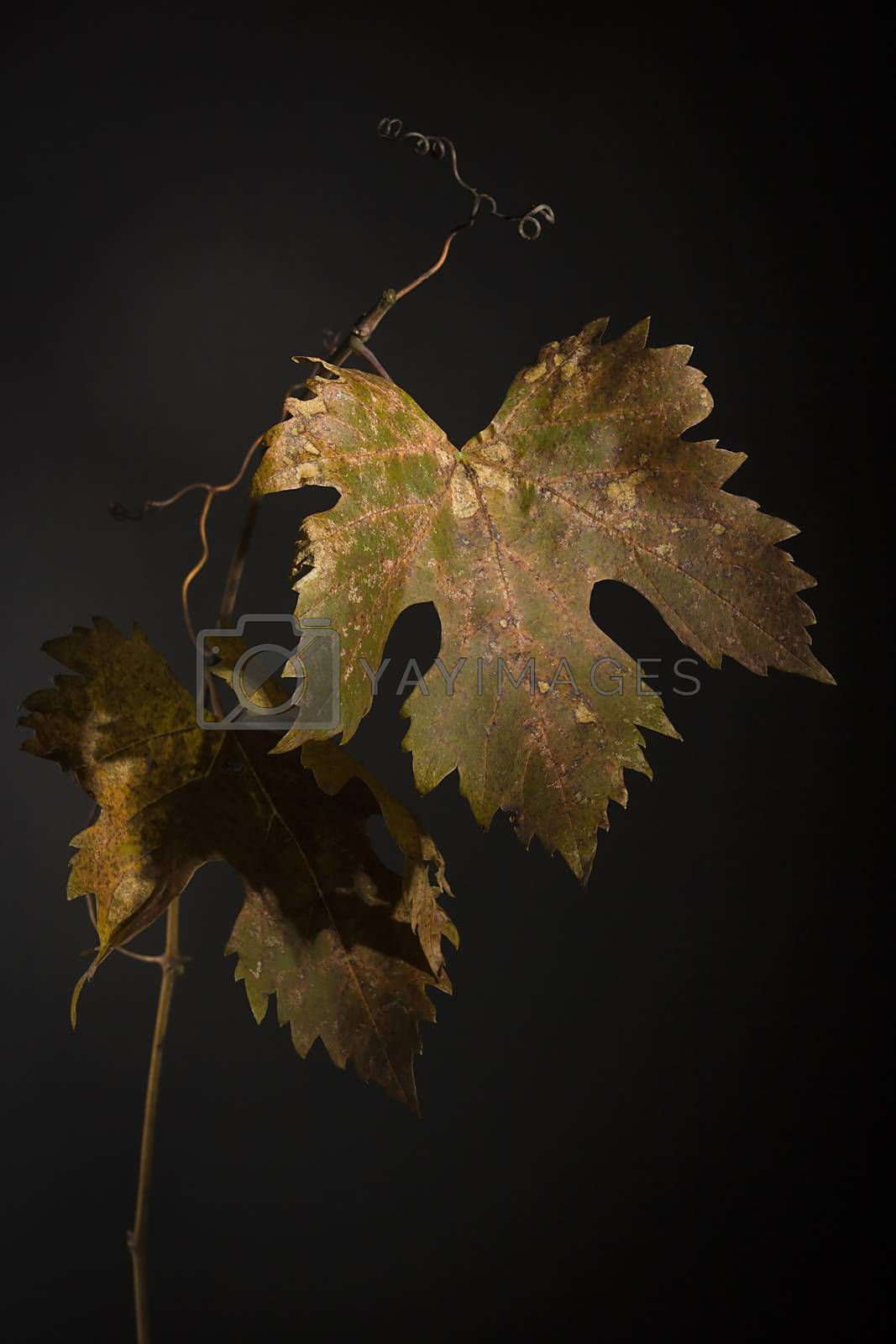Royalty free image of Yellowed grape leaves by VIPDesignUSA
