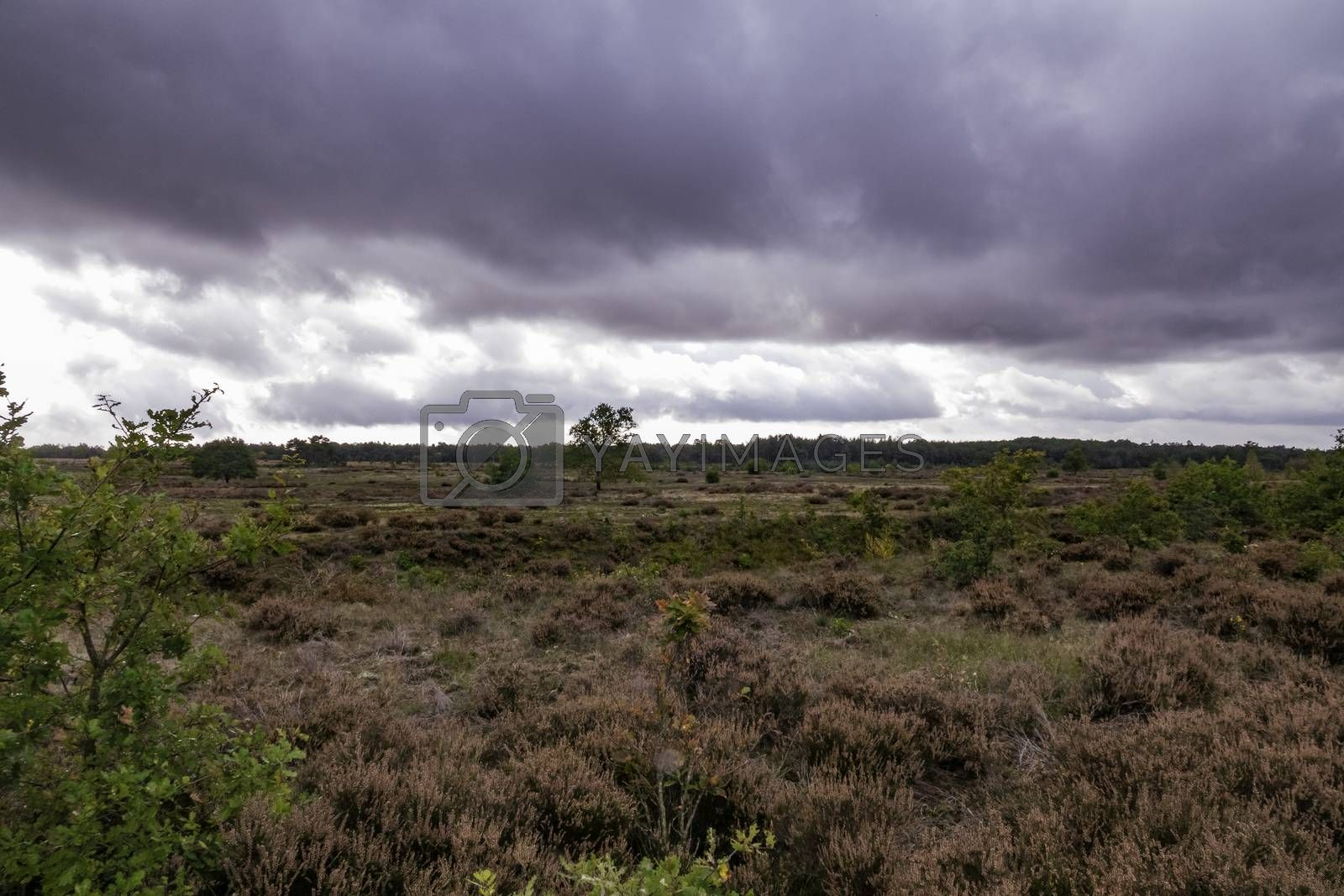 heather fields on national park de veluwe in holland