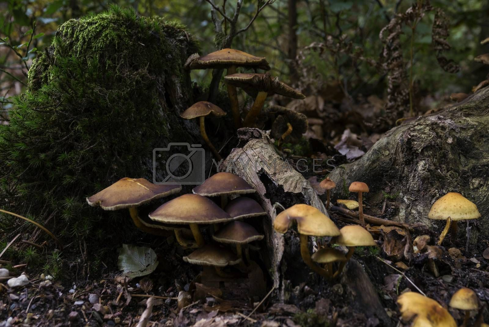 group of fungi in the forest during autum with the trees and leaves as background