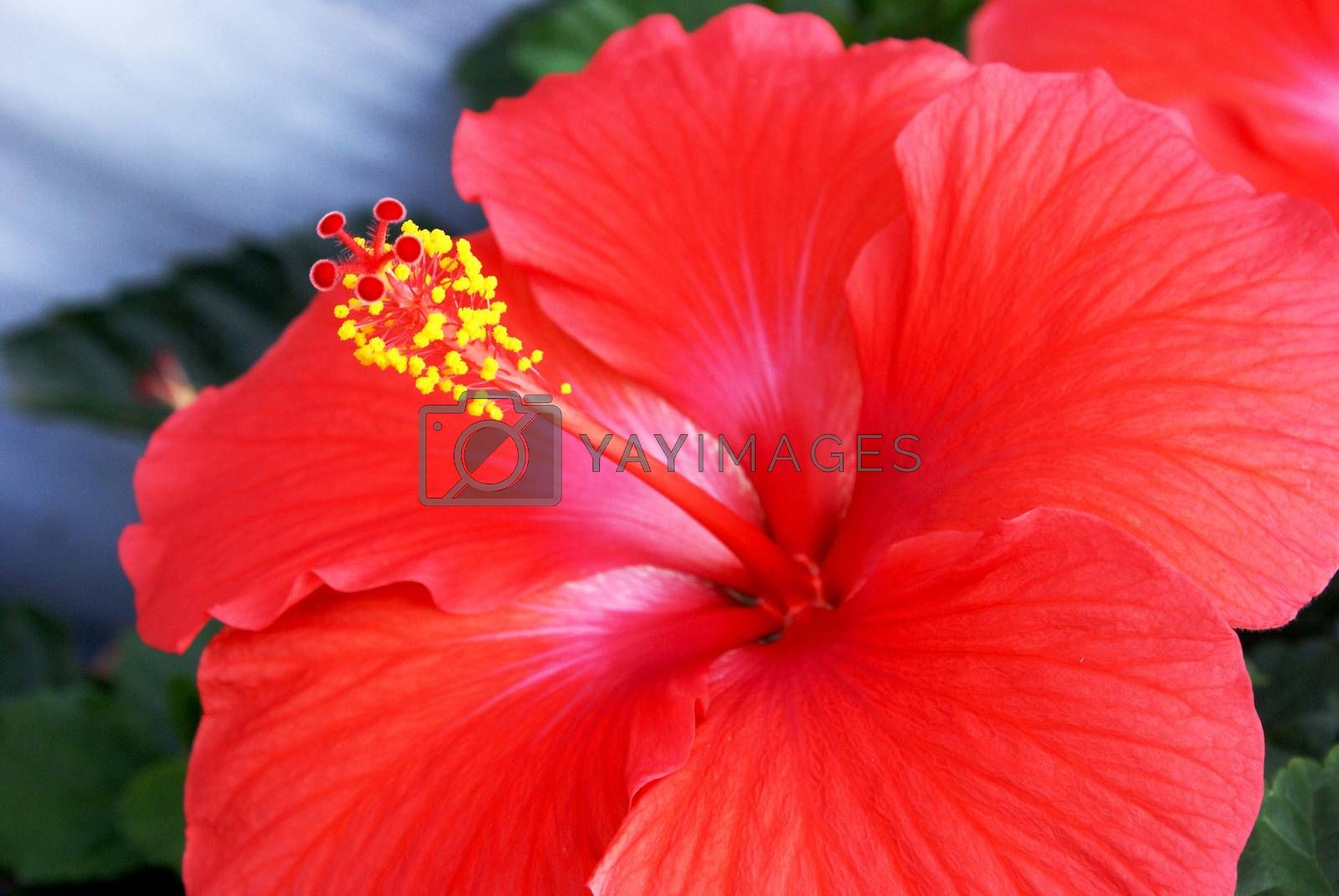 A closeup image of a beautiful full bloom hibiscus flower from the tropical regions.