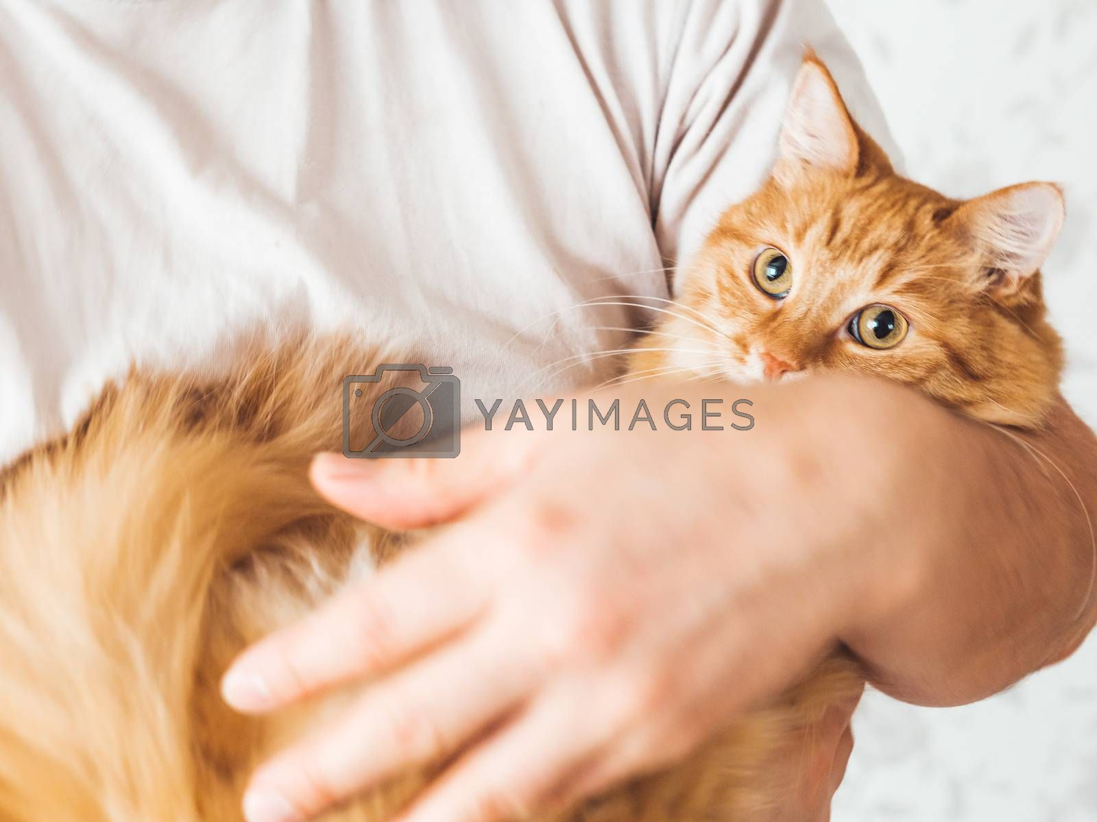 Man cuddles her cute ginger cat. Fluffy pet looks pleased and sleepy. Fuzzy domestic animal. Cat lover.