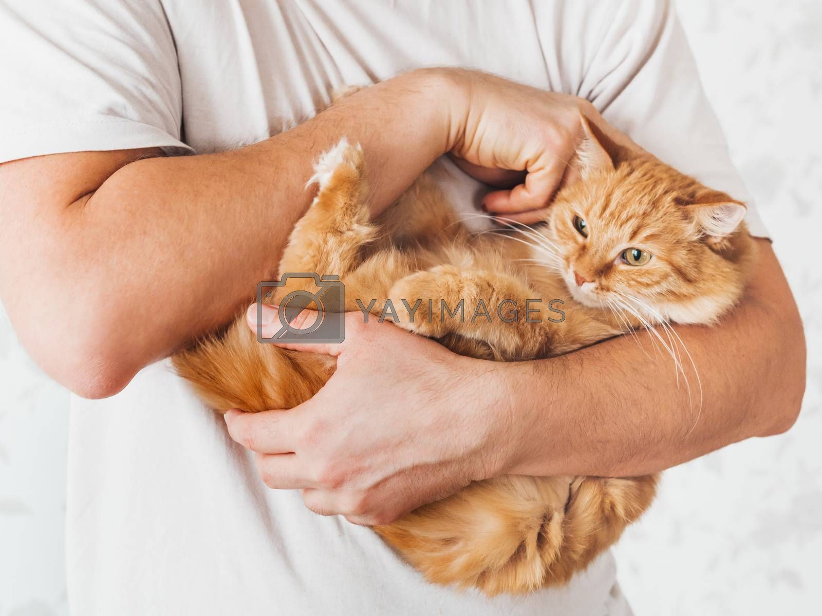 Man cuddles cute ginger cat. Fluffy pet looks pleased and sleepy. Fuzzy domestic animal. Cat lover.