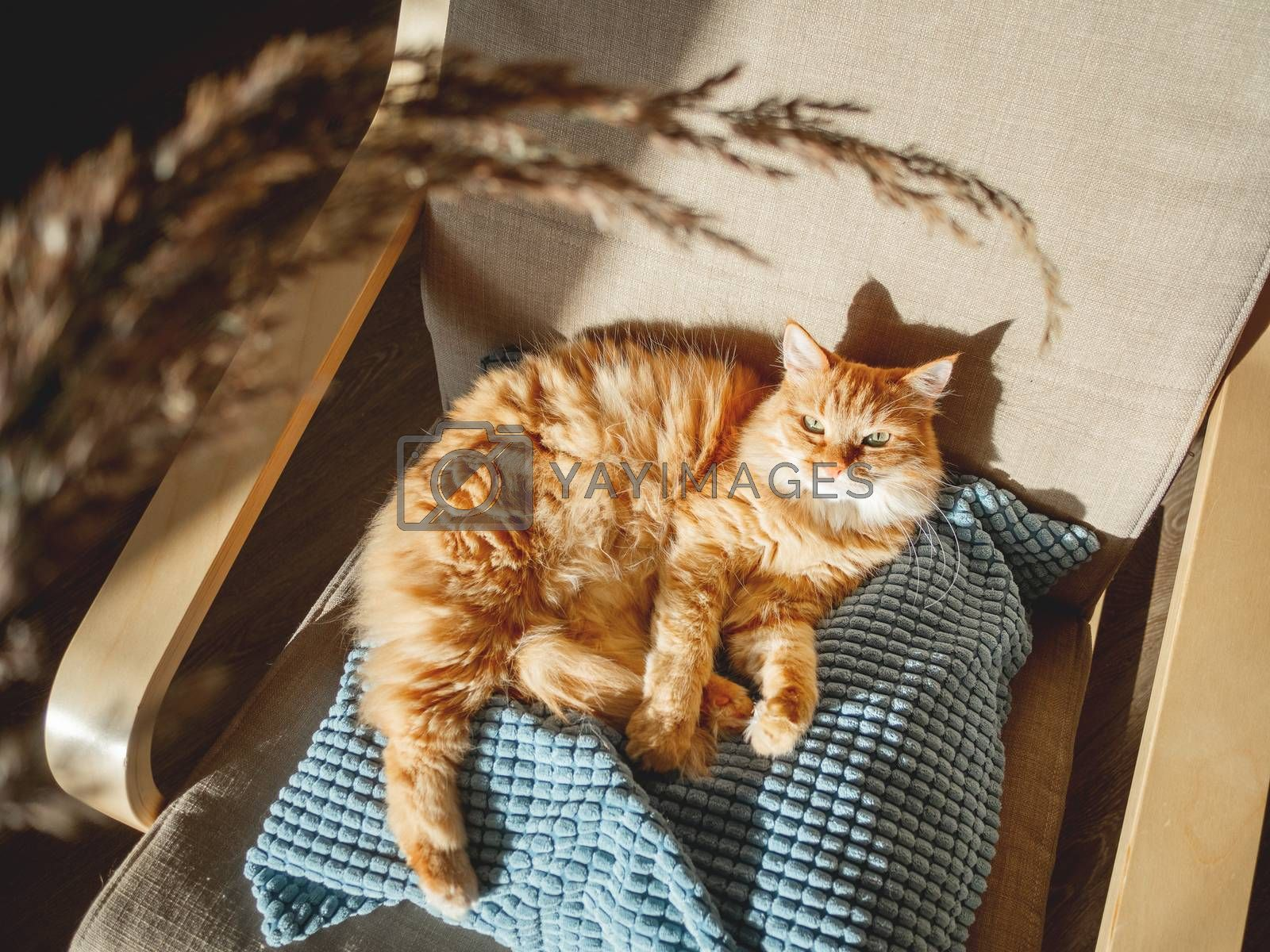 Top view on cute ginger cat lying on pillow. Fluffy pet is staring on dried grass used as toy. Cozy home lit with sun.