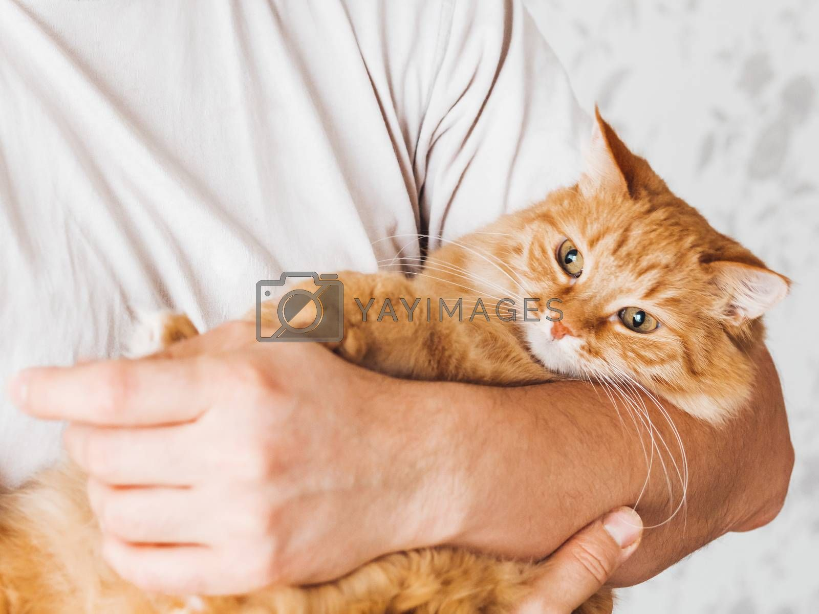 Royalty free image of Man cuddles cute ginger cat. Fluffy pet looks pleased and sleepy. Fuzzy domestic animal. Cat lover. by aksenovko