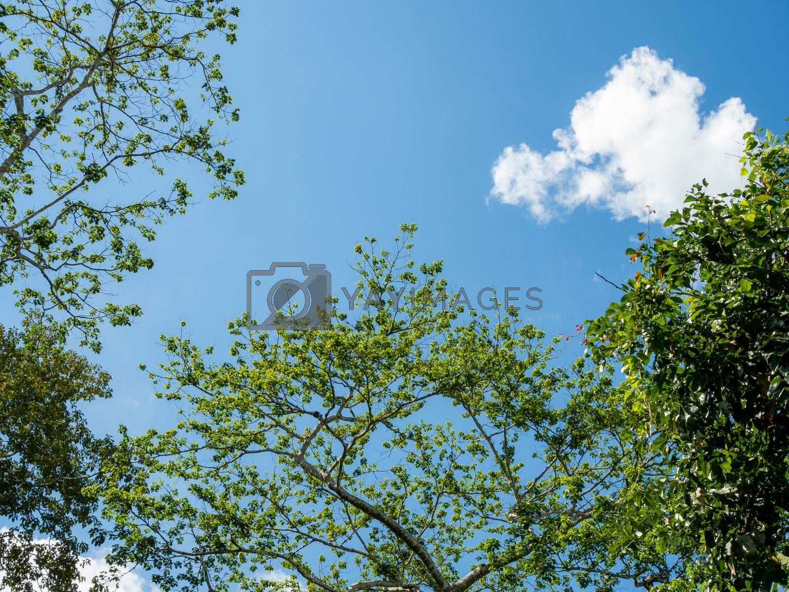 Green trees on the background of the sky and white clouds