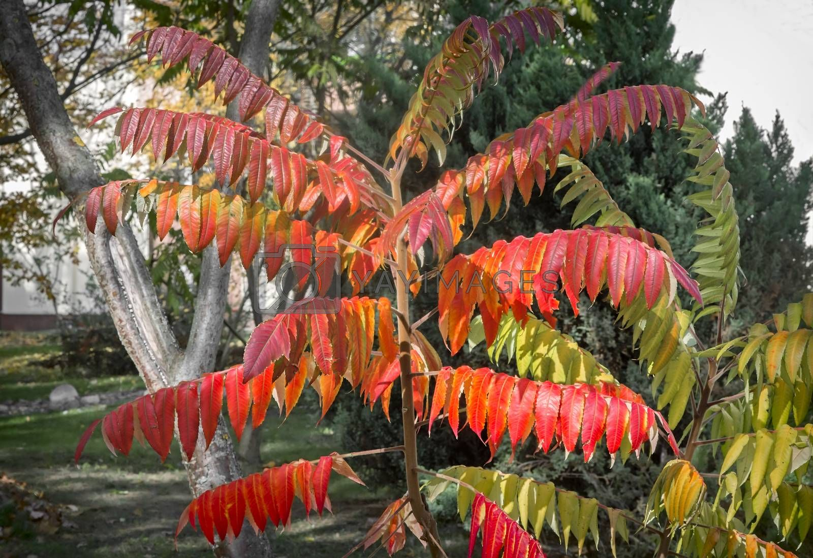 Ornamental deciduous plant, called sumac  by georgina198
