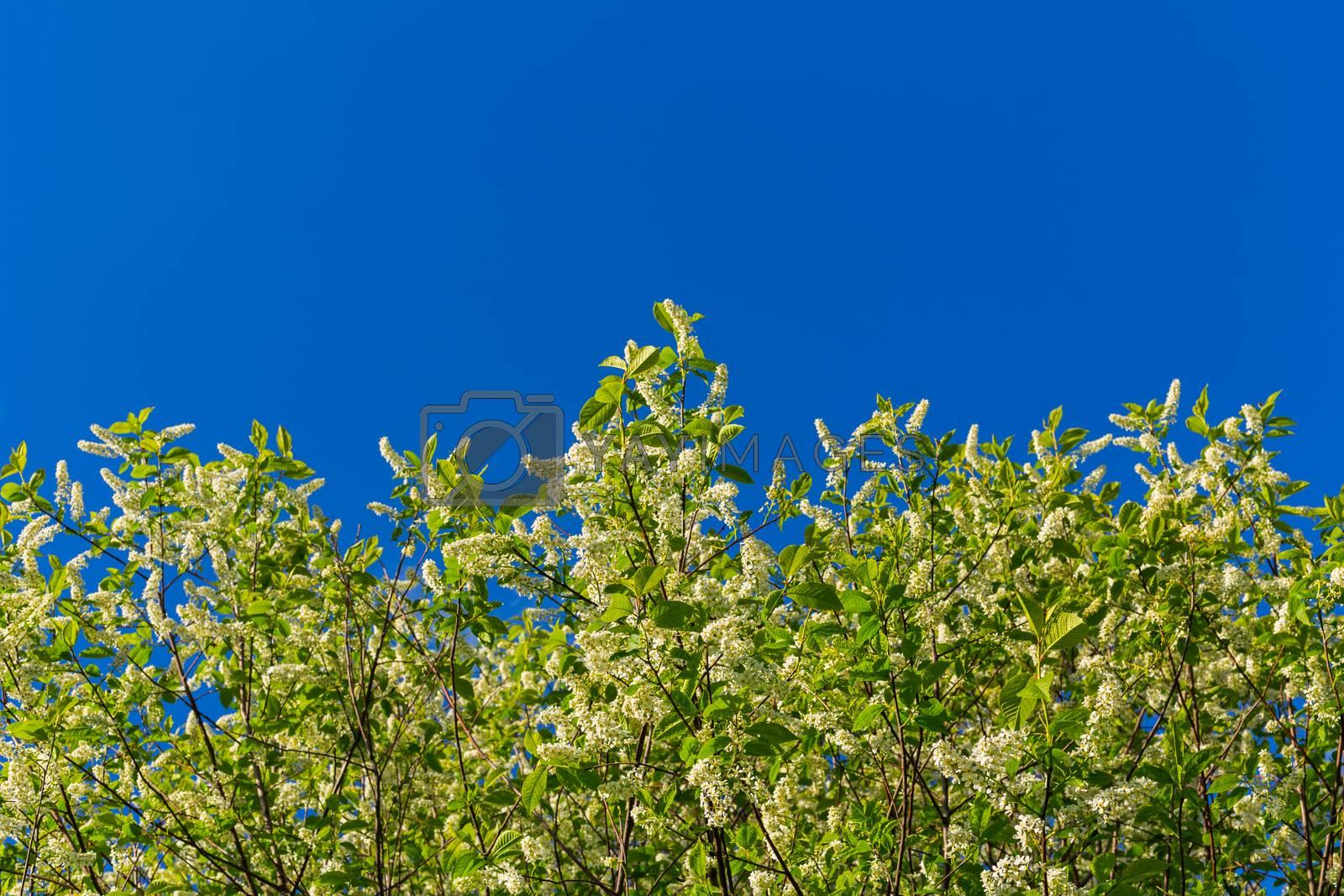 florescence of bird-cherry on clear blue sky