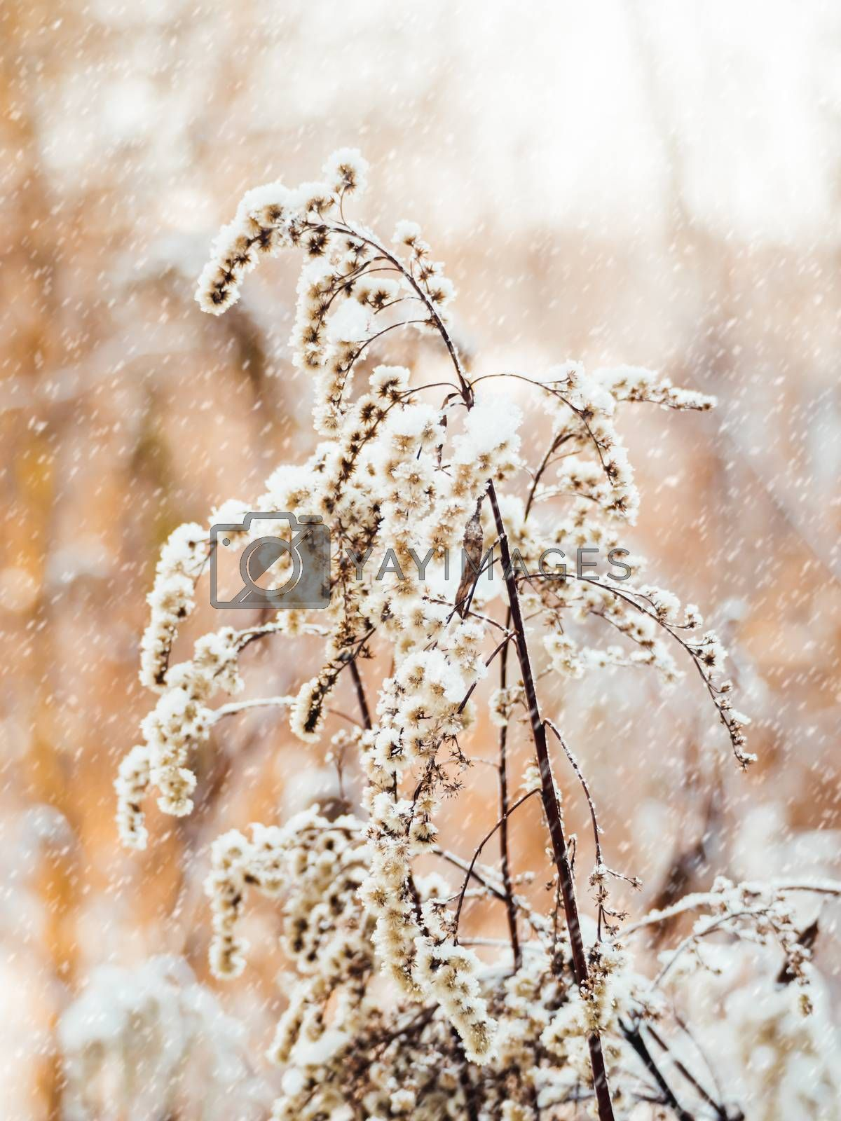 Dried grass under the snow. Snowfall in forest. Winter season. N by aksenovko