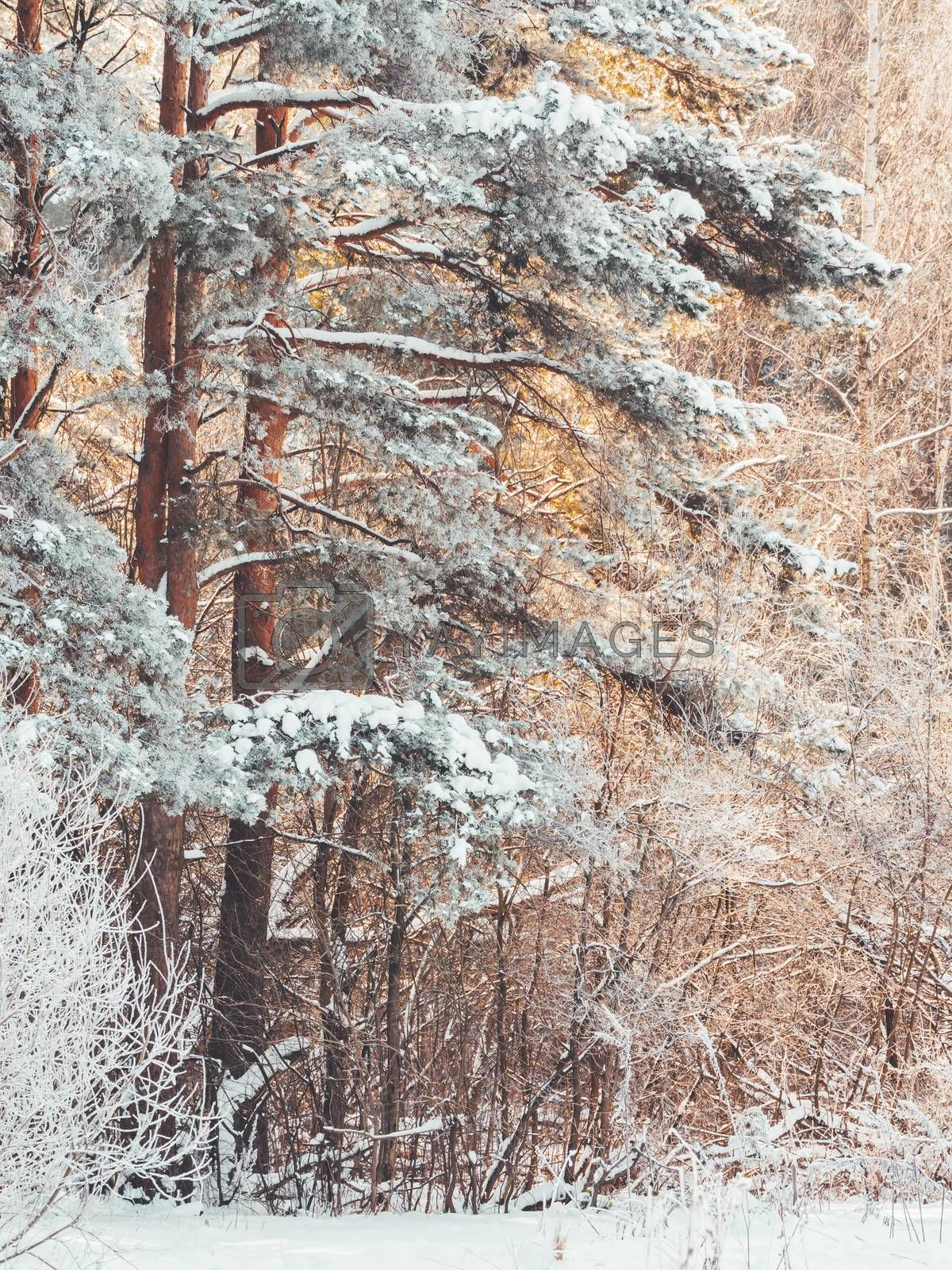 Winter in forest. Snowy weather in wood at sunny day. Pine trees after snowfall. Natural background.