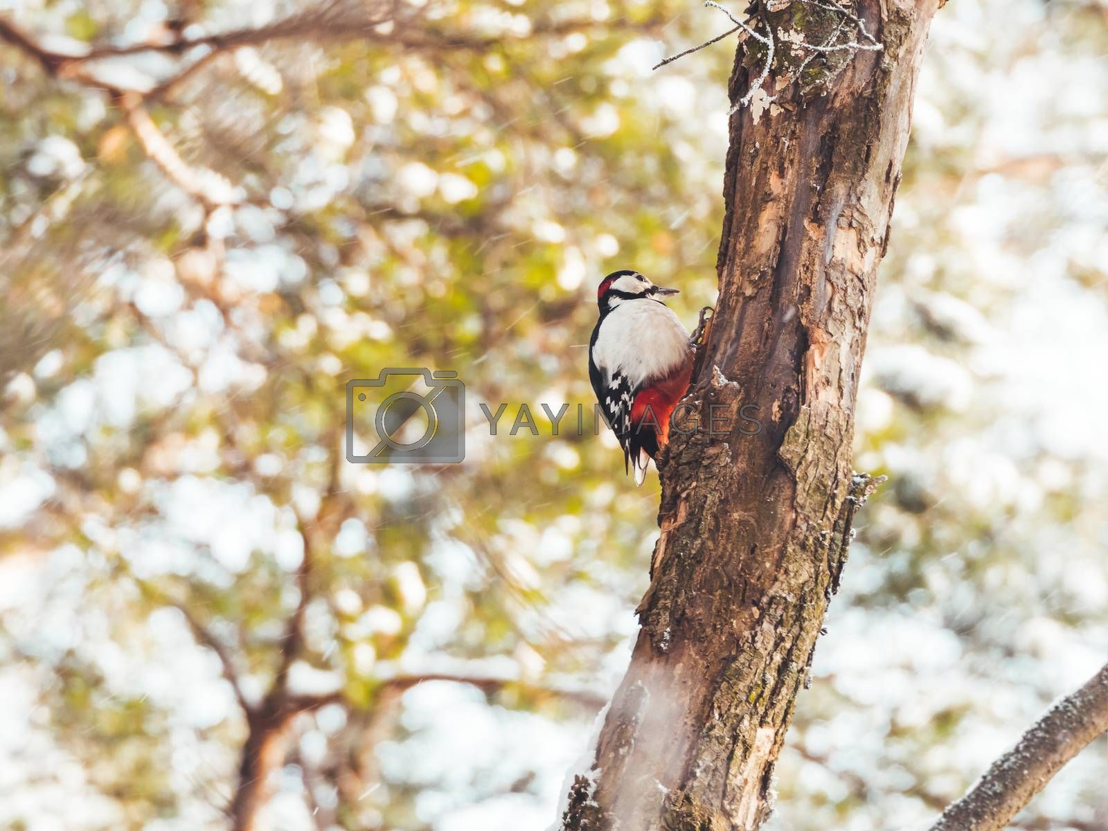 Great spotted woodpecker, Dendrocopos major, knocks on the bark  by aksenovko