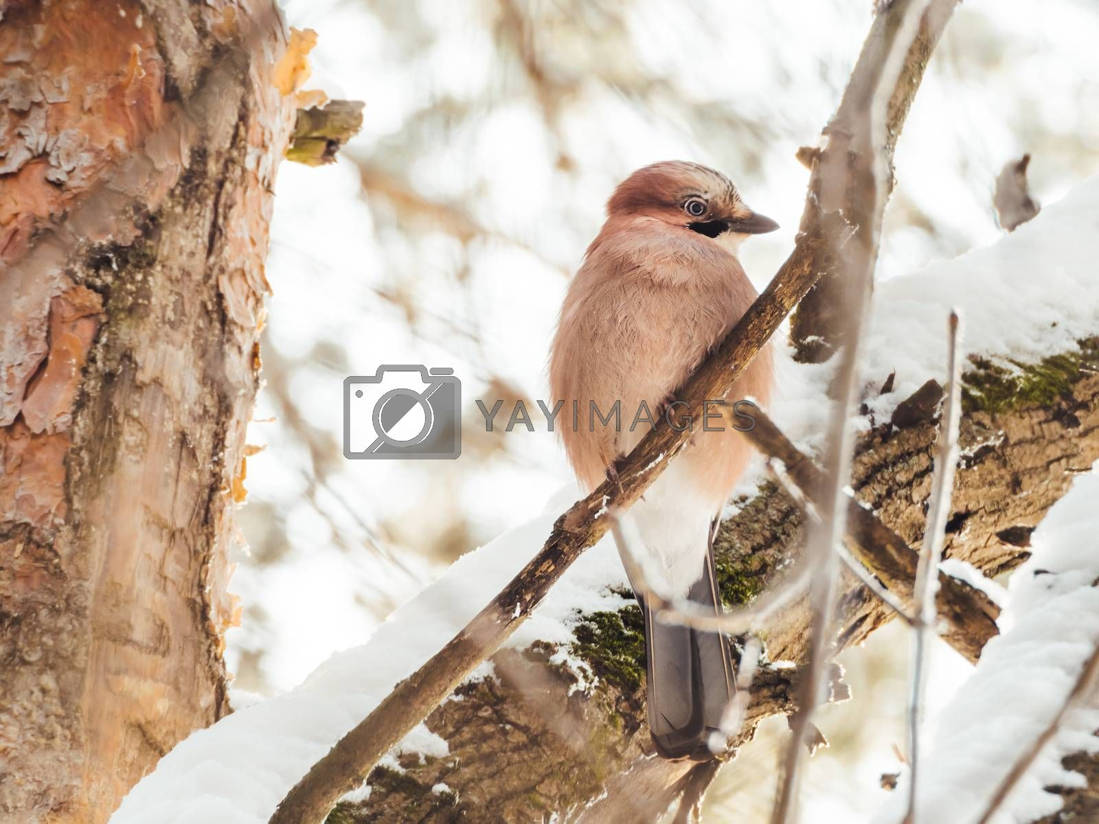 Eurasian jay or Garrulus glandarius is sitting on fir tree branch. Colorful bird in winter forest.
