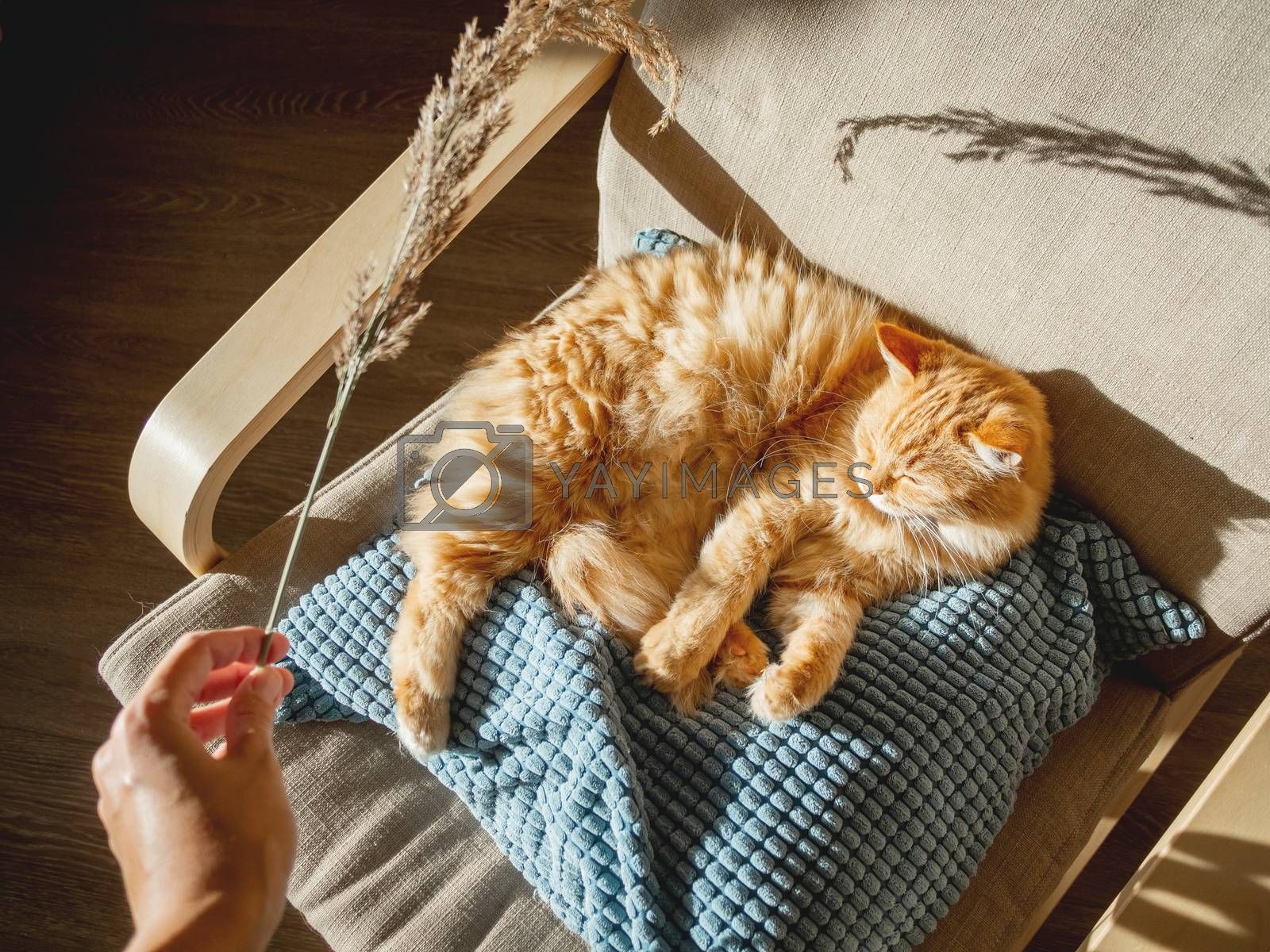 Top view on cute ginger cat lying on pillow. Woman id using dried grass used as toy for fluffy pet. Cozy home lit with sun.