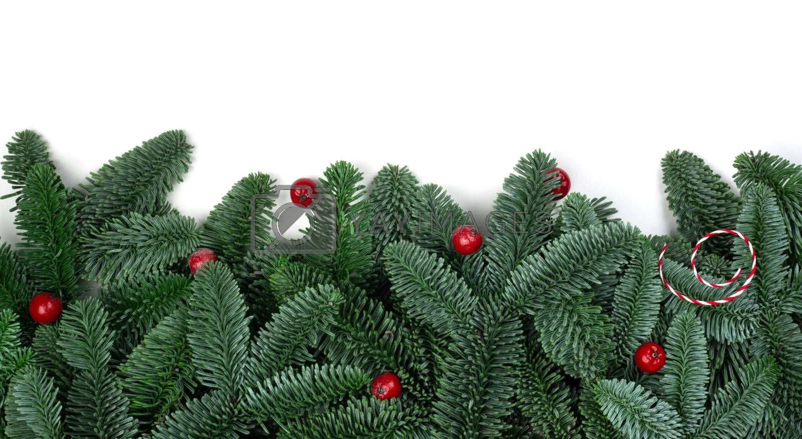 Traditional green christmas tree noble fir and red holly berries border frame isolated on white background copy space for text
