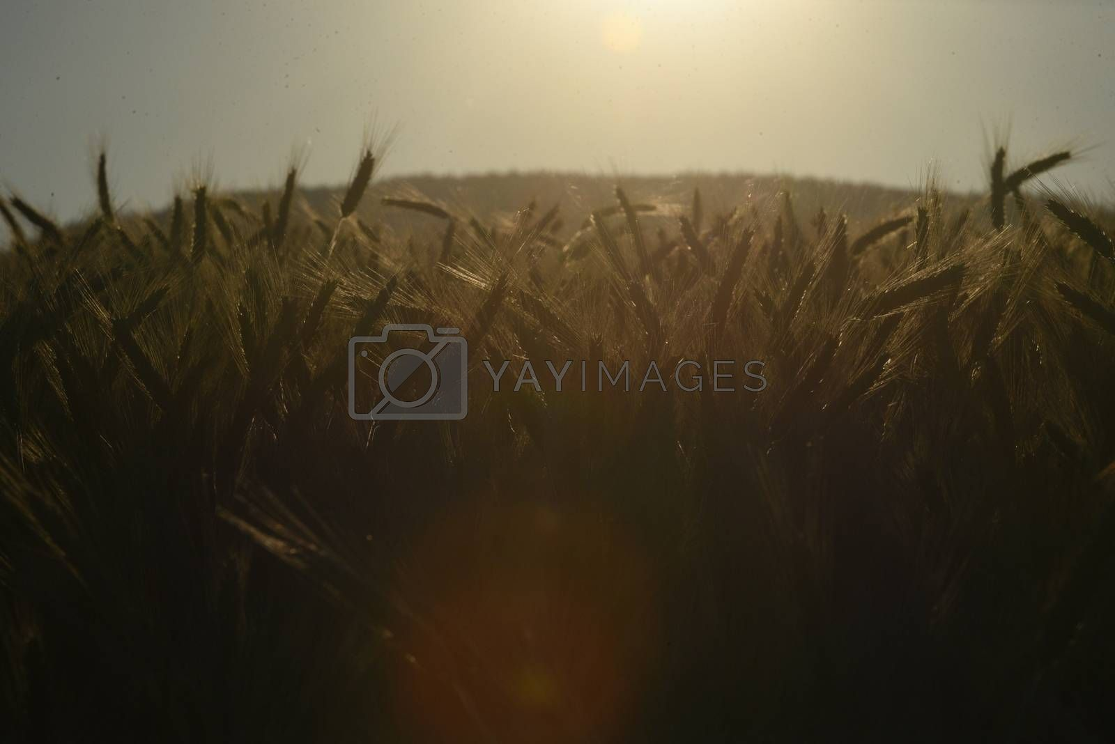 wheat ears or wheat spikes, cereal production and farming in agriculture