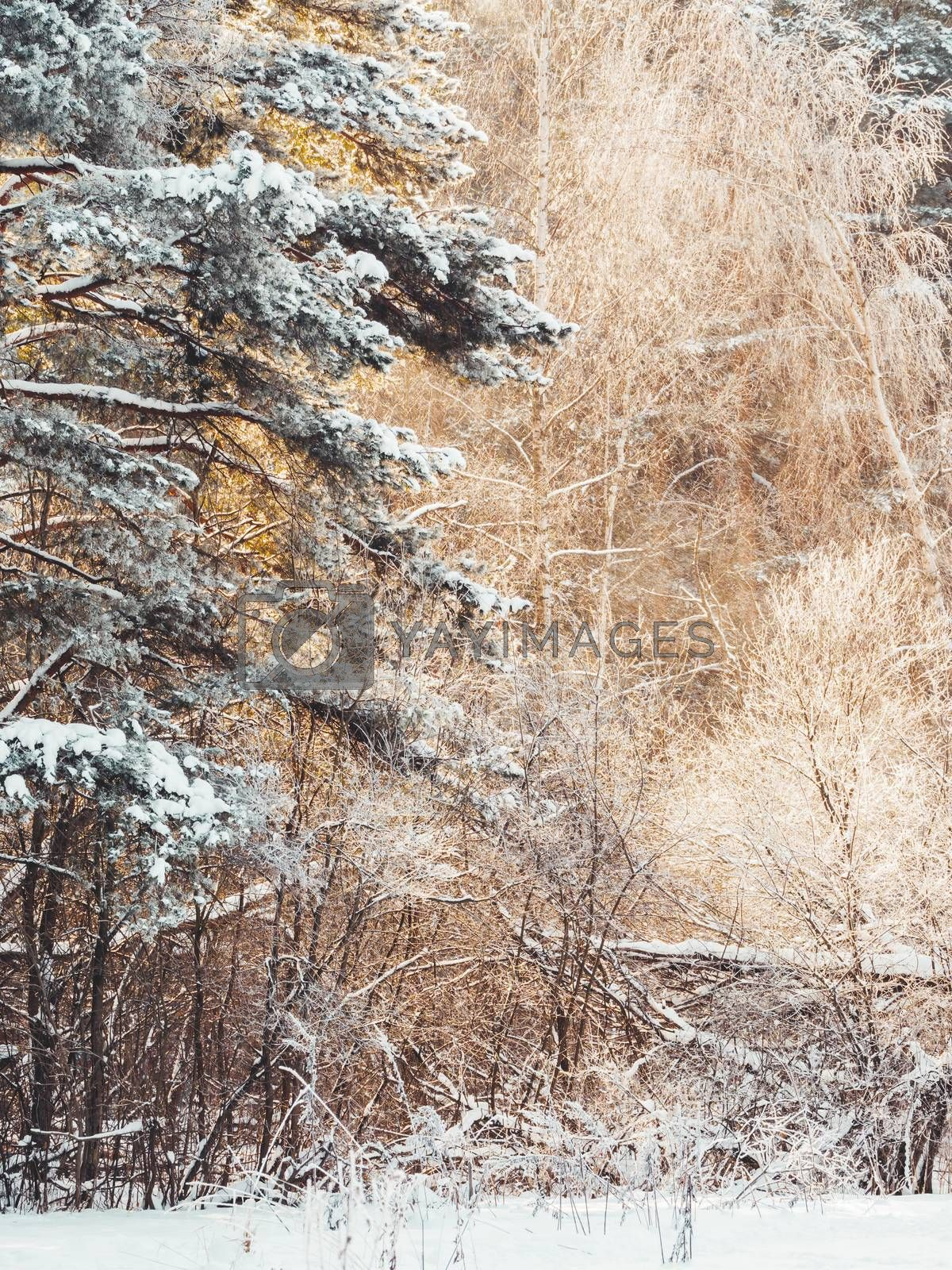 Winter in forest. Snowy weather in wood at sunny day. Pine trees by aksenovko