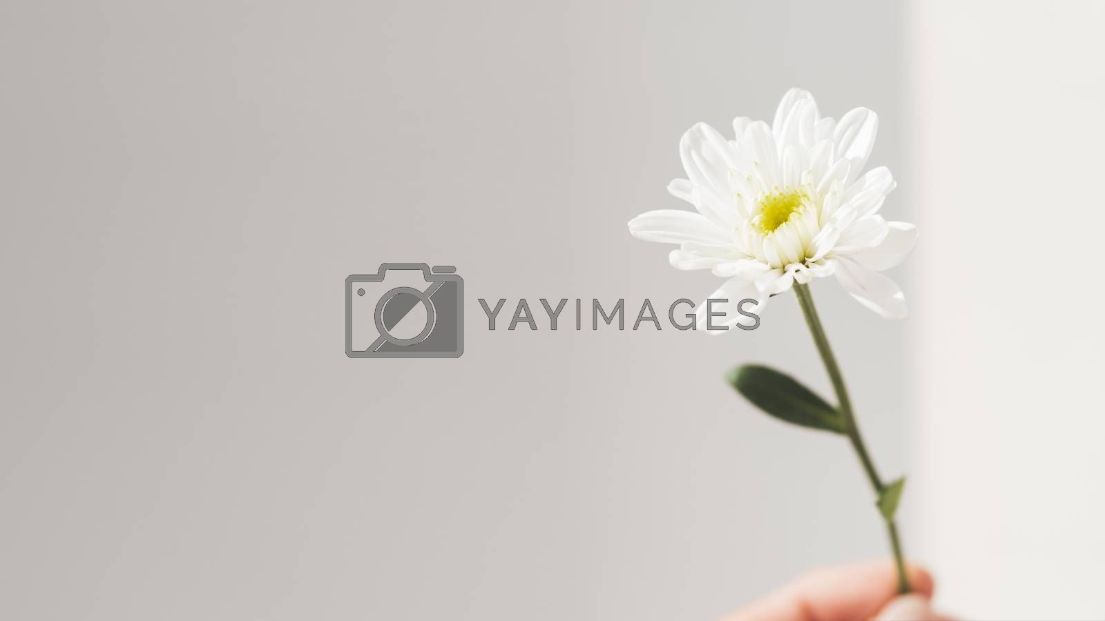 Hand with fragile chrysanthemum flower.  Woman is holding blooming flower on grey background with copy space. Light and shadow.