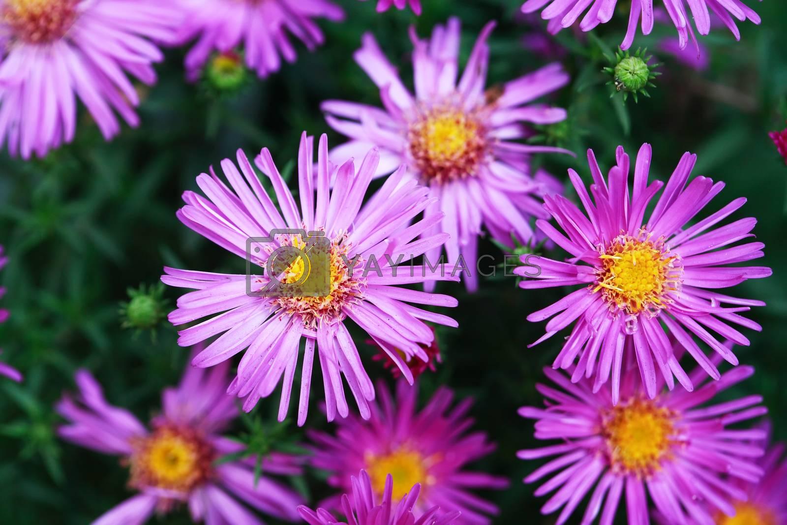 Royalty free image of Nice Pink Flowers by kvkirillov