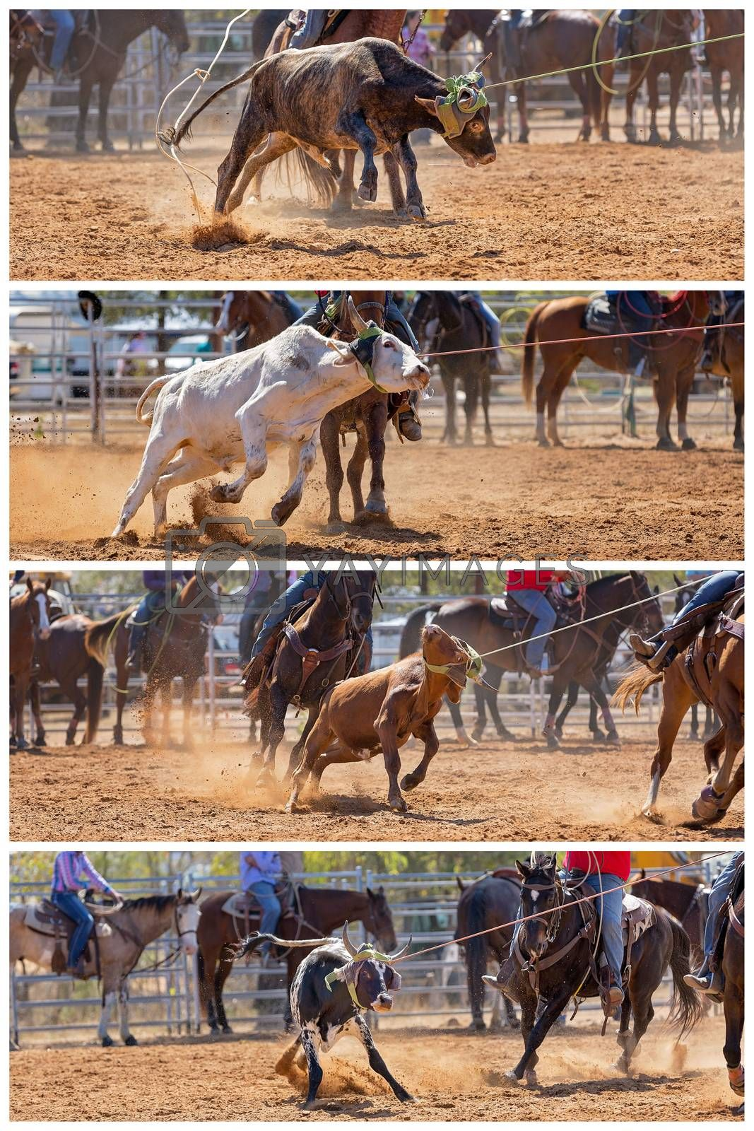 Collage of images of calves being lassoed by cowboys on horseback in a dusty country rodeo