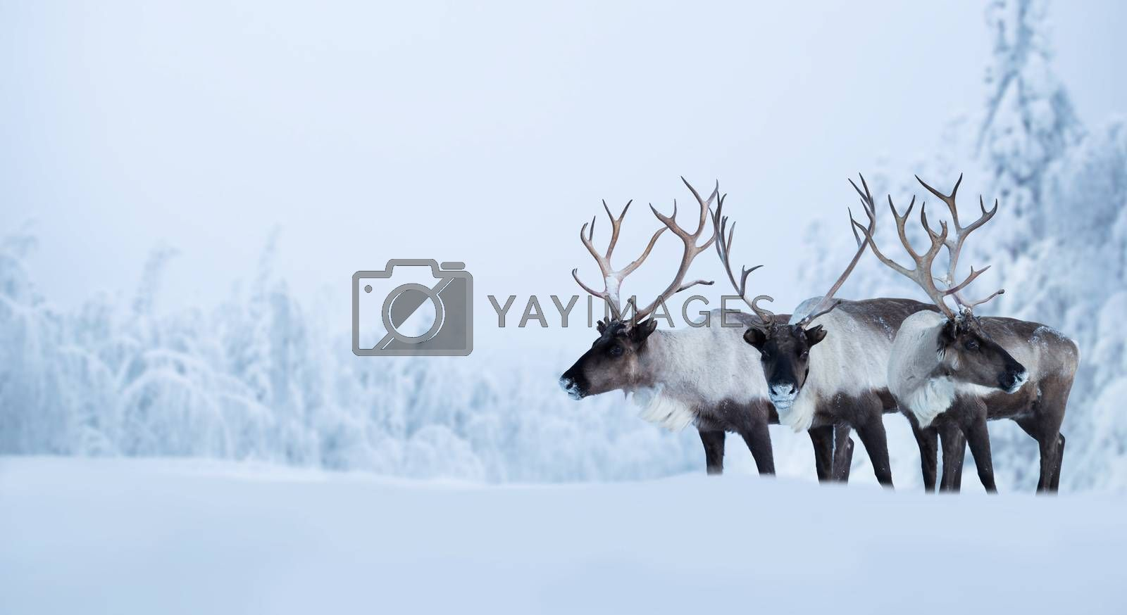 Big male deers in northern winter forest covered with snow and frost Christmas New Year celebration background copy space for text