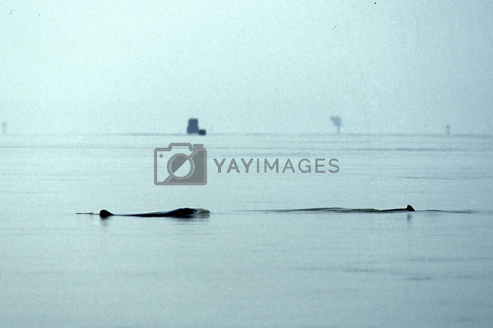 a mekong river Dolphin on the Mekong river at the village of Kratie in the centre of Cambodia.  Cambodia, Kampong Cham, February, 2001,