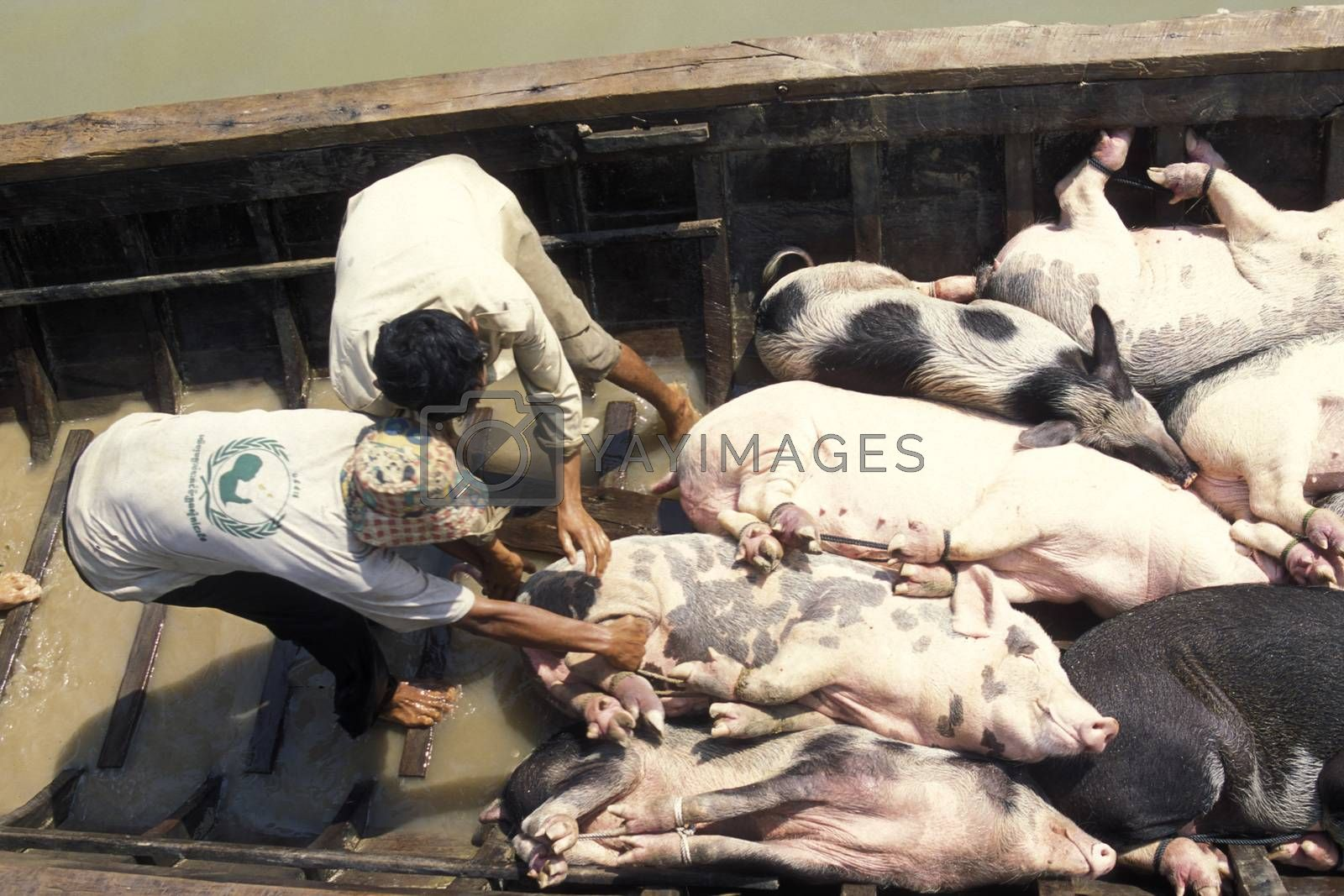 a transport of pigs at a Boat on the Lake tonle sap near the town of siem riep  in the east of Cambodia.  Cambodia, Sihanoukville, February, 2001,
