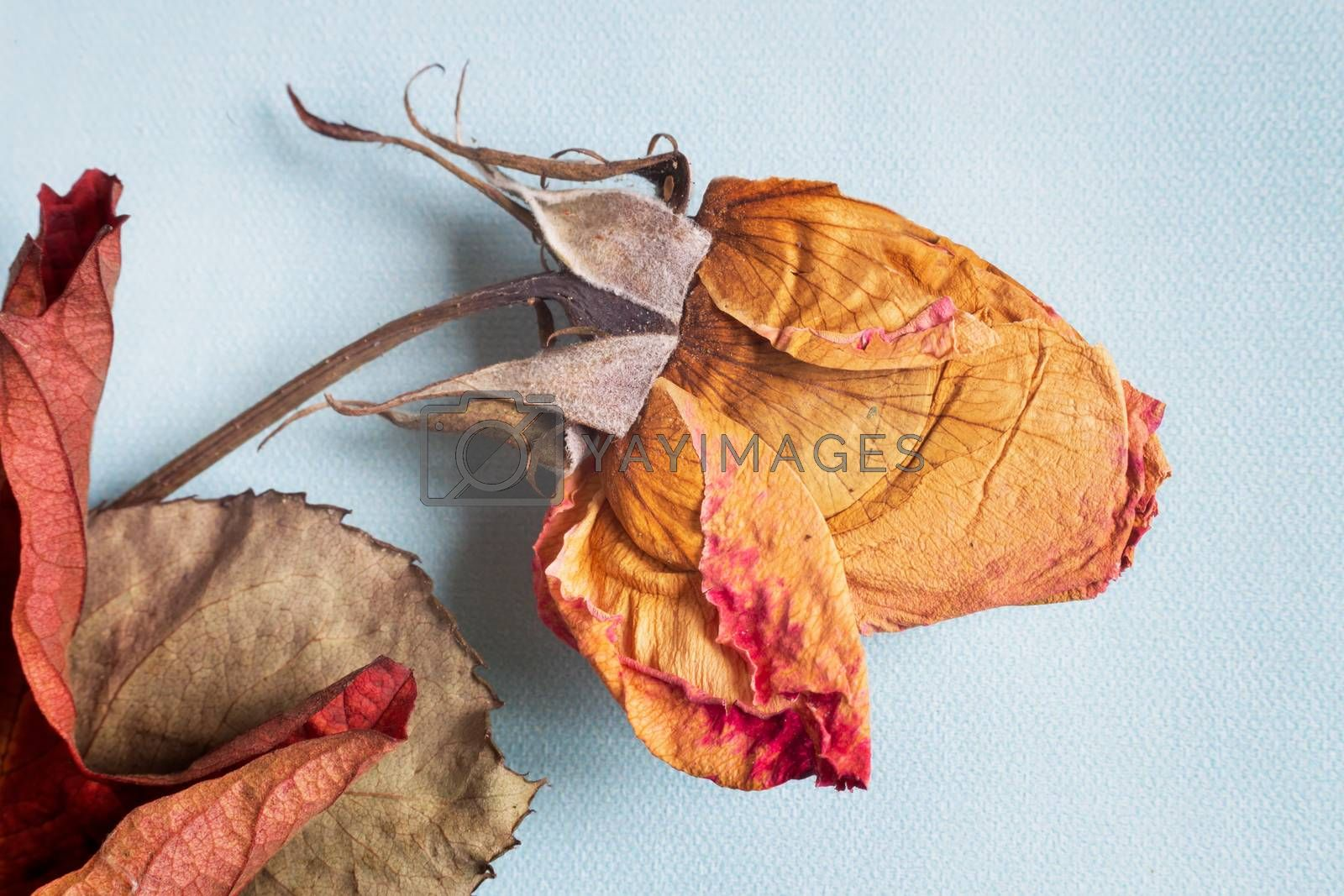 On a light background, a dried rose flower with leaves. Presented in close-up, top view.