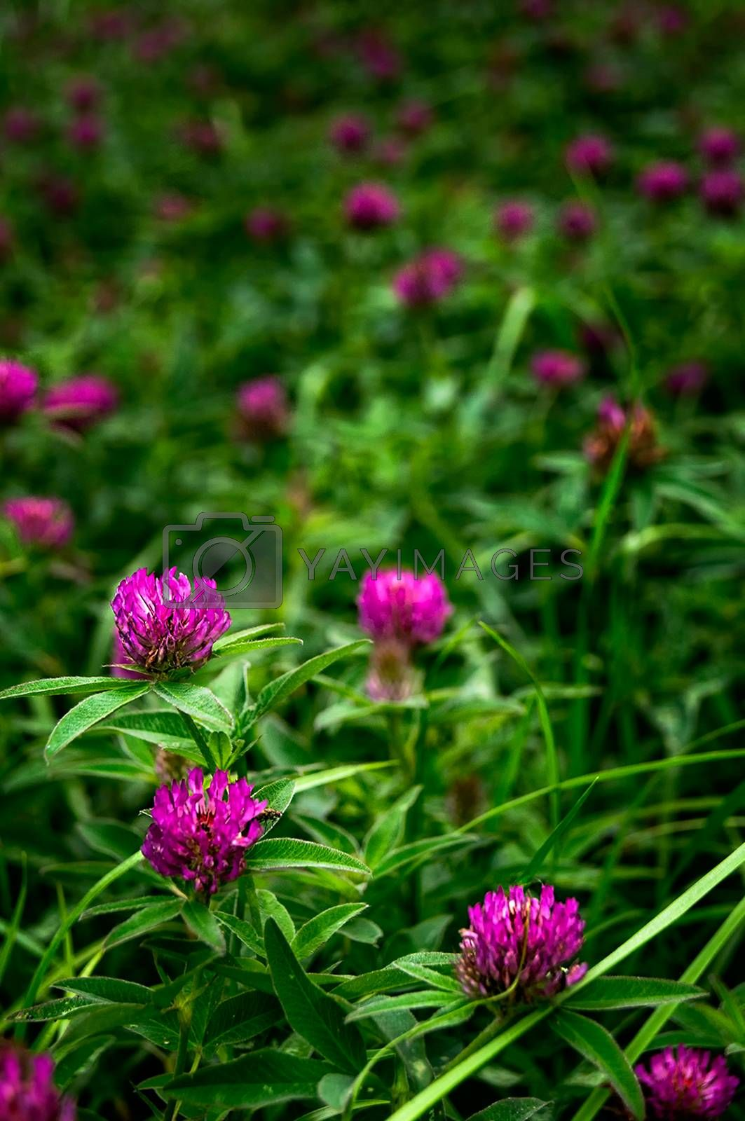 Purple flowers in the meadow. Travayany sprouting in the forest.