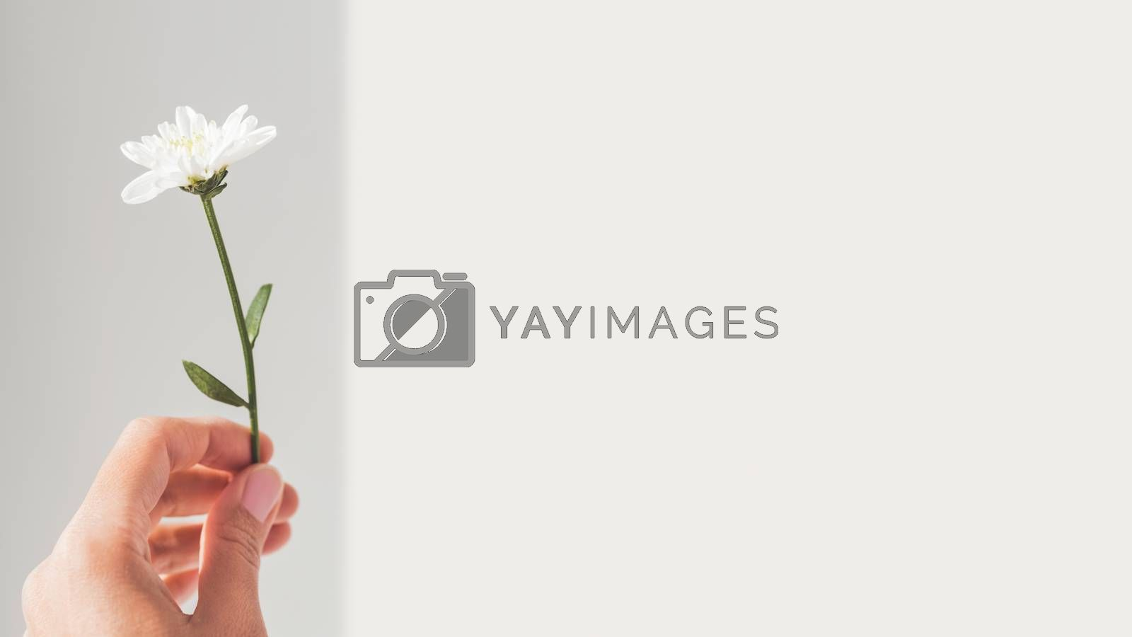 Hand with fragile chrysanthemum flower.  Woman is holding bloomi by aksenovko
