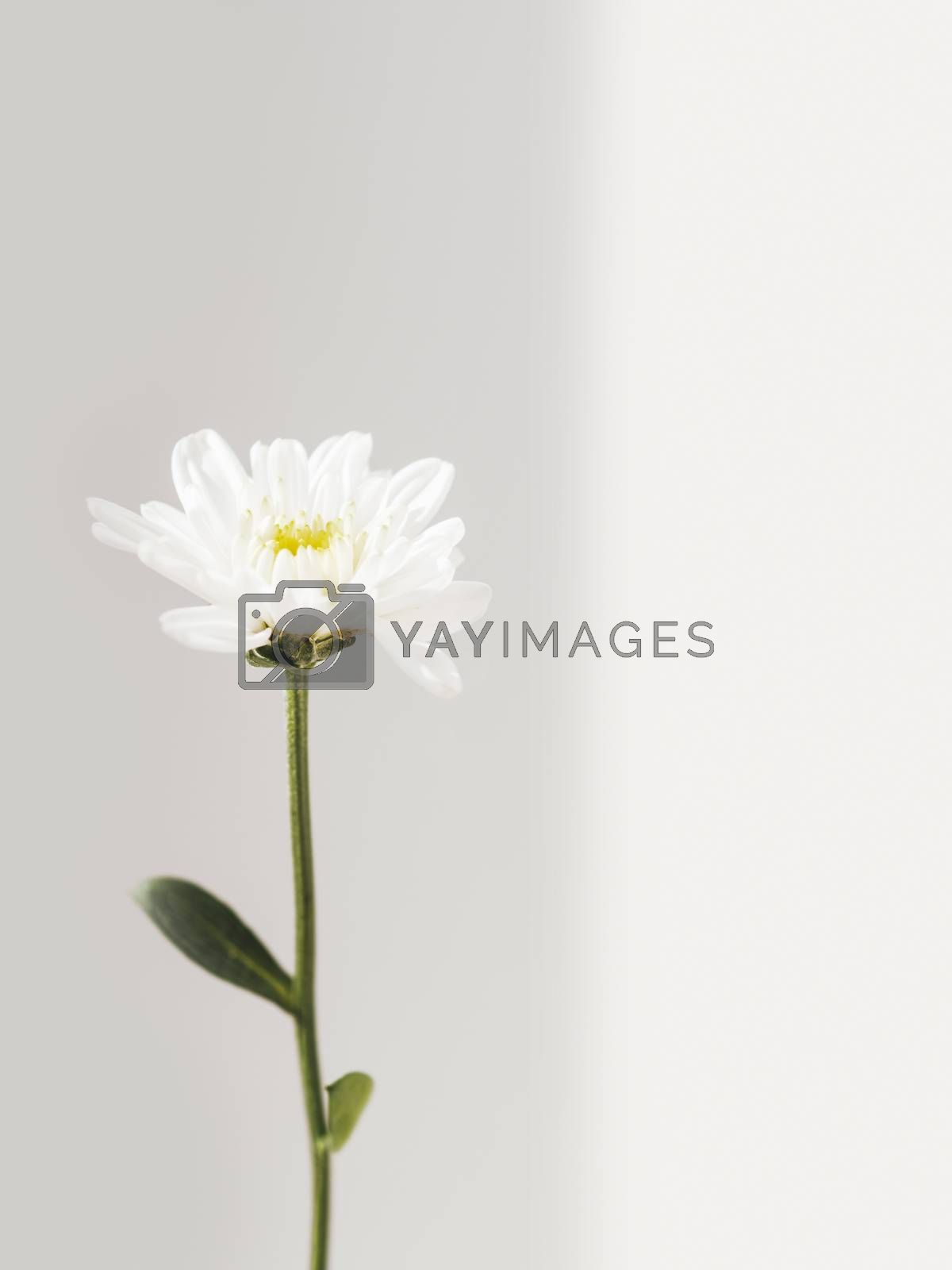 Fragile chrysanthemum flower.  Blooming flower on grey background with copy space. Light and shadow.