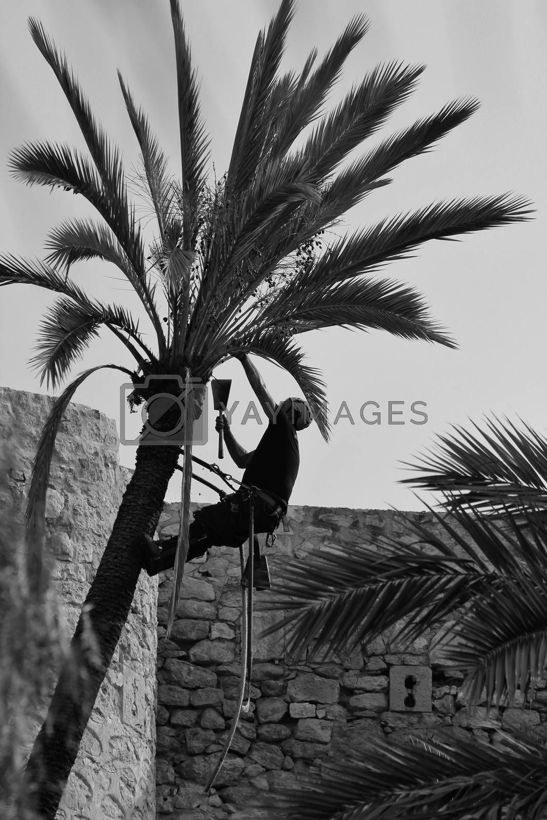 Elche, Alicante, Spain- November 18, 2020: Man climbing and doing pruning works on palm tree in a sunny day of Autumn