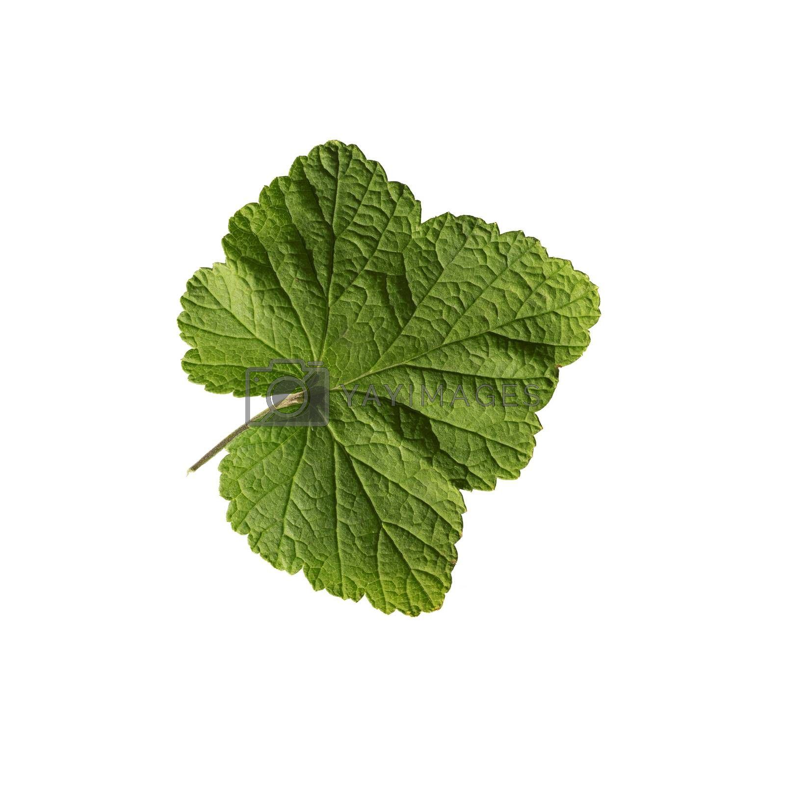 Green currant leaf isolated on white background. Top view
