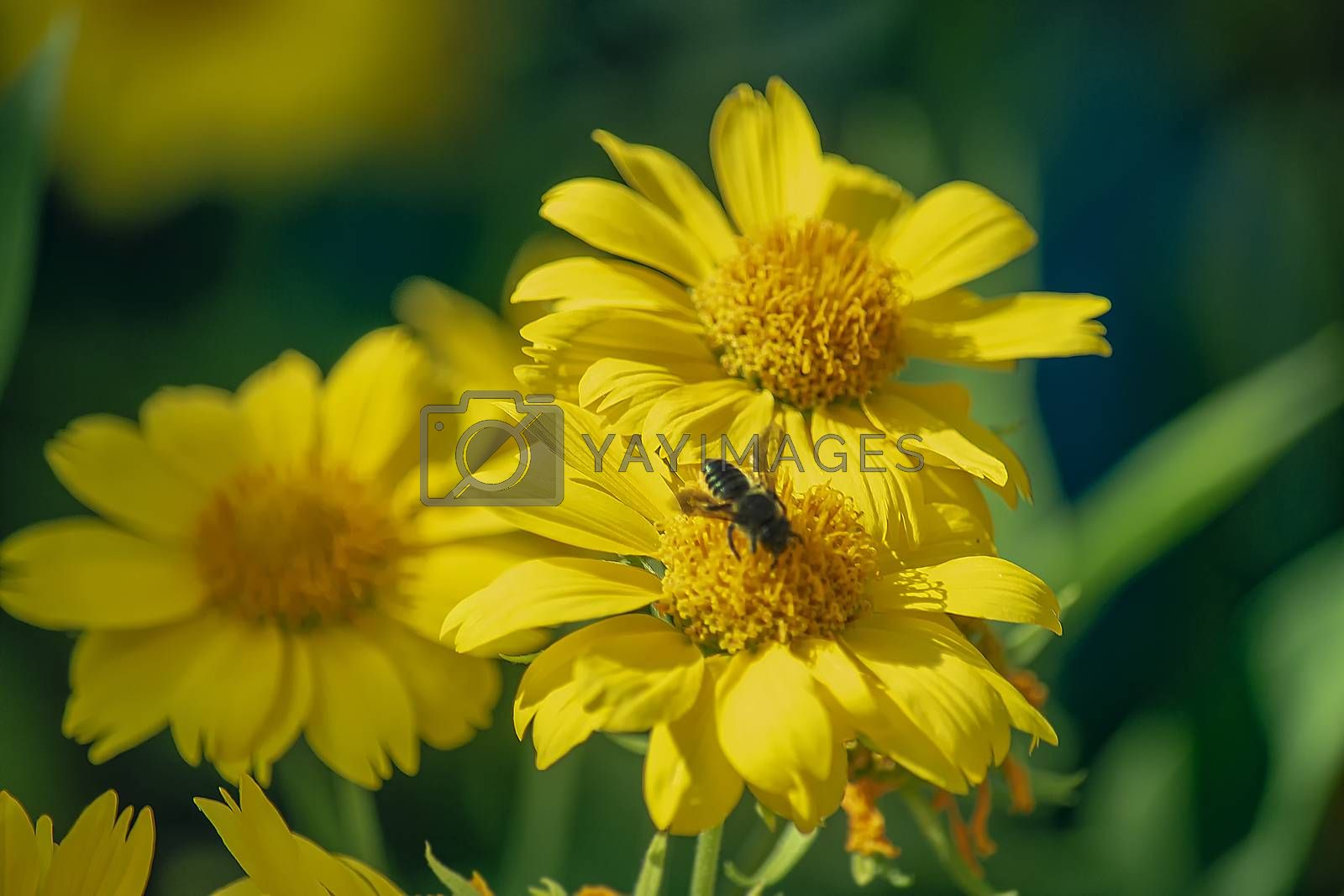 The bee sits and collects nectar and pollen.